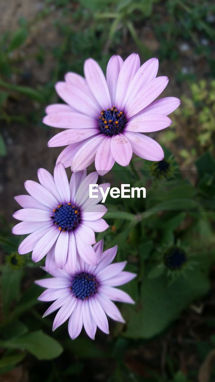 flower, petal, fragility, flower head, nature, beauty in nature, growth, purple, osteospermum, freshness, plant, blooming, focus on foreground, no people, day, outdoors, close-up