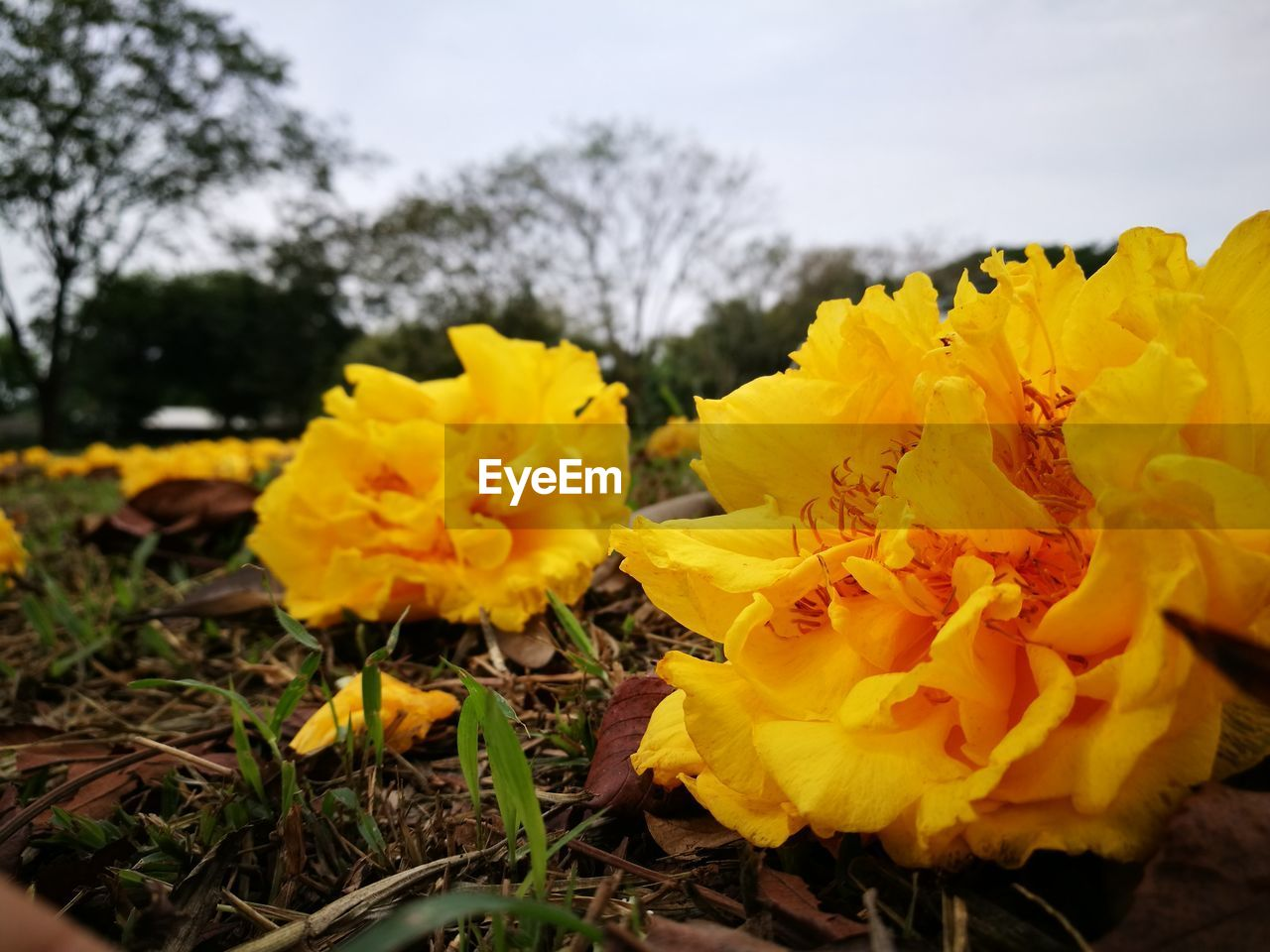flower, yellow, fragility, petal, beauty in nature, nature, outdoors, growth, no people, day, field, close-up, freshness, flower head, selective focus, plant, sky, springtime, blooming