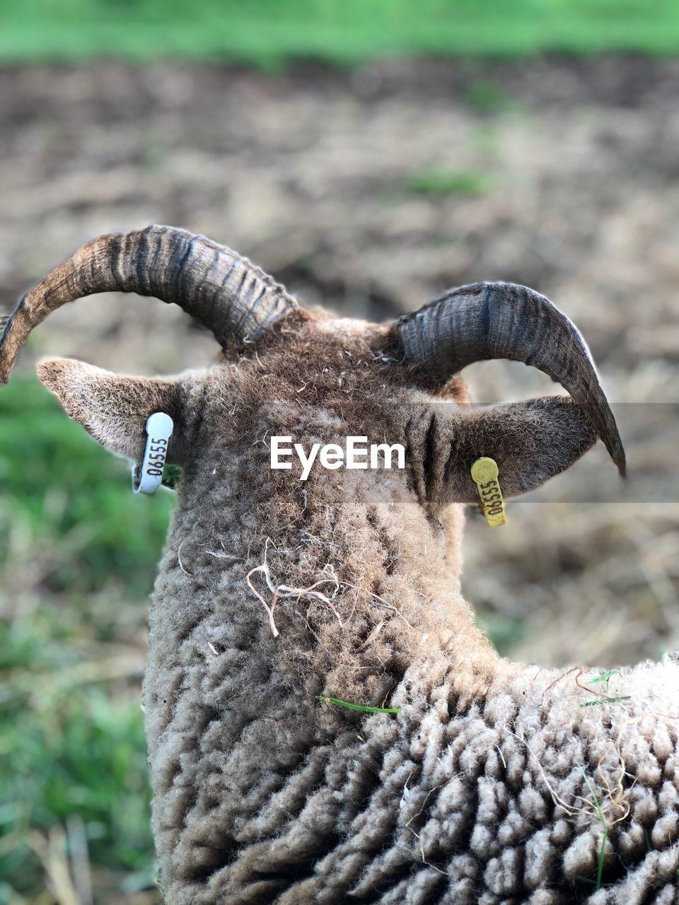 Close-up of lamb