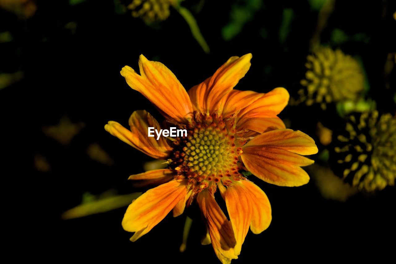flowering plant, flower, flower head, fragility, vulnerability, petal, plant, beauty in nature, freshness, inflorescence, growth, close-up, pollen, yellow, nature, no people, focus on foreground, outdoors, botany, gazania