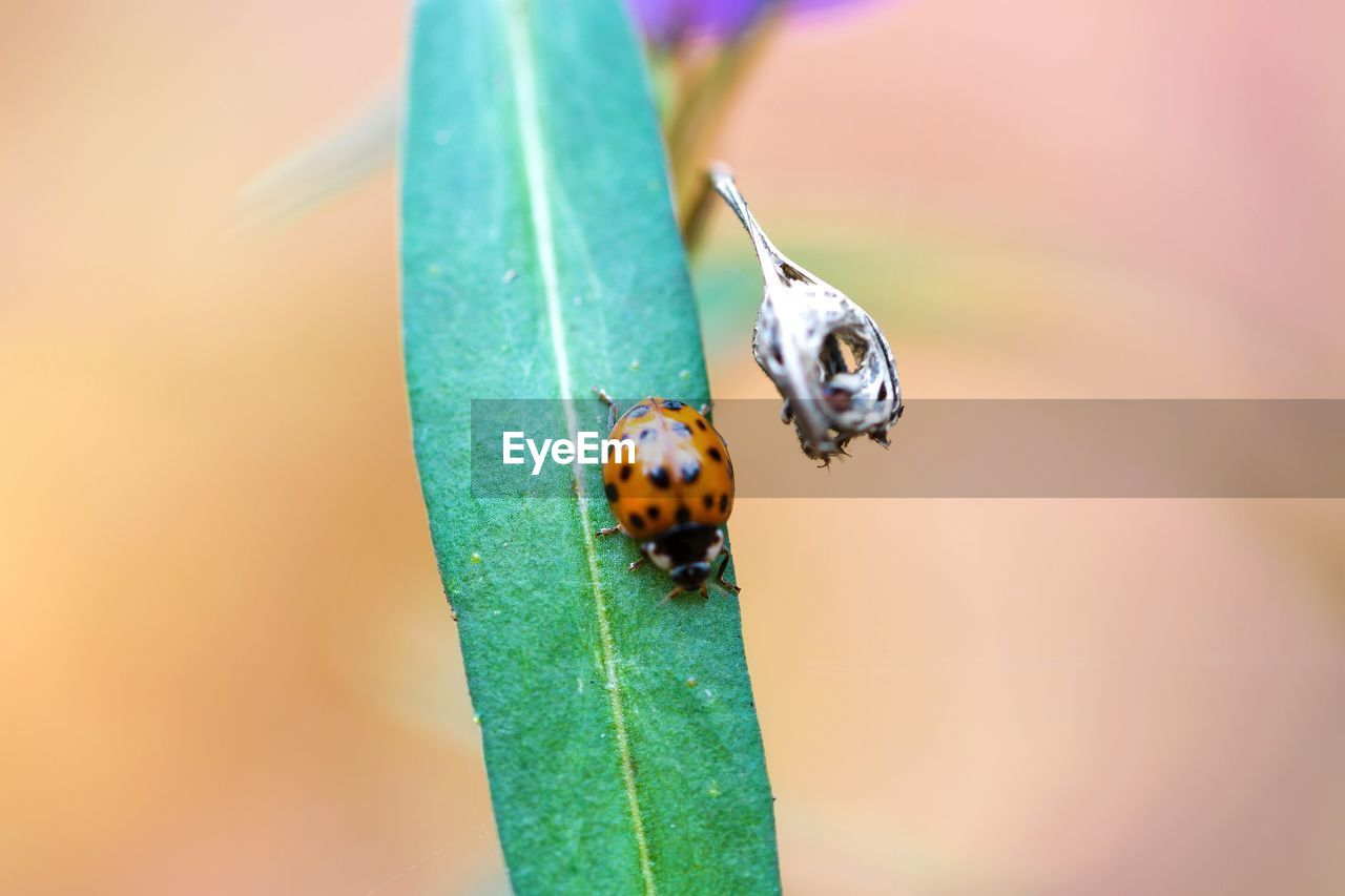 invertebrate, animal themes, insect, animal wildlife, animals in the wild, animal, one animal, close-up, ladybug, beetle, plant part, leaf, no people, day, focus on foreground, plant, green color, nature, orange color, selective focus, small