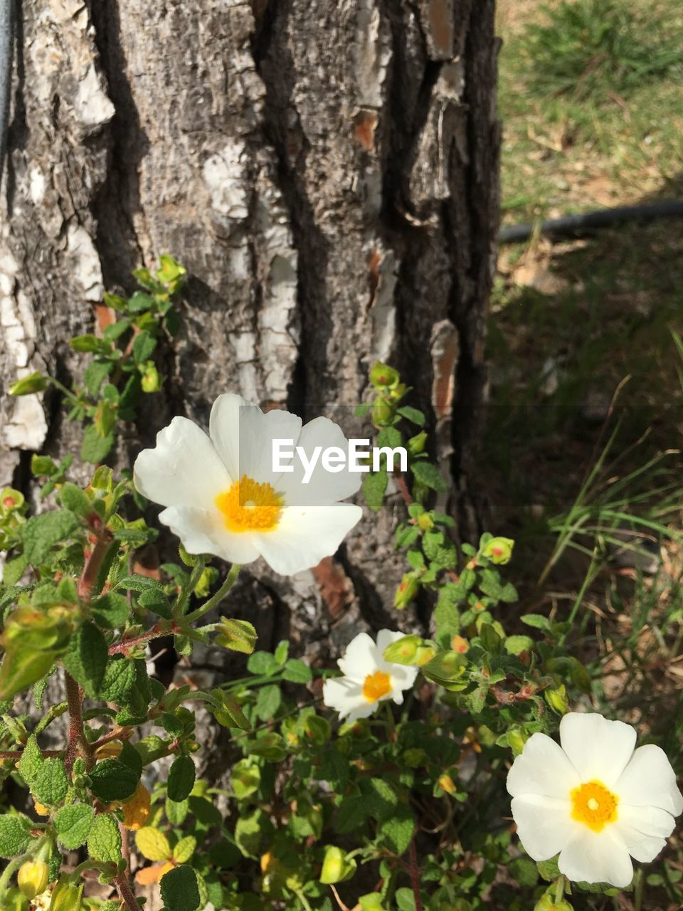flower, petal, white color, fragility, nature, growth, beauty in nature, freshness, flower head, blooming, no people, day, close-up, pollen, outdoors, plant
