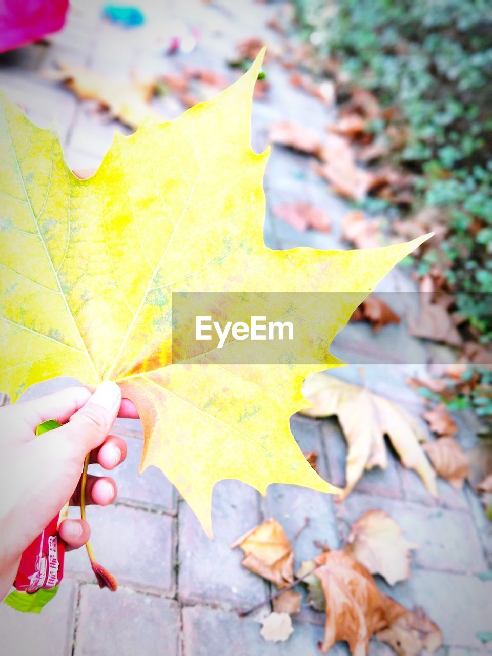 leaf, autumn, change, real people, one person, close-up, outdoors, maple leaf, nature, day, human hand, fragility, focus on foreground, maple, beauty in nature, human body part, yellow, people