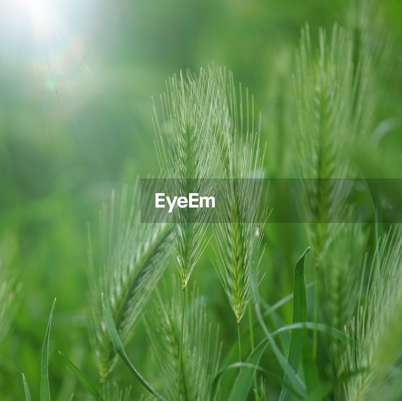 green color, growth, plant, nature, close-up, beauty in nature, no people, day, selective focus, sunlight, field, tranquility, focus on foreground, agriculture, outdoors, land, freshness, crop, grass, cereal plant