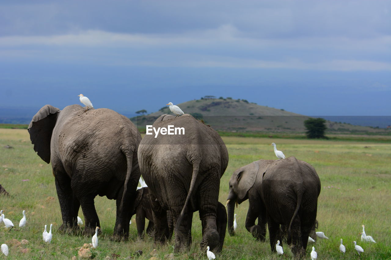 Great Egrets And Elephant Family On Grassy Field Against Sky