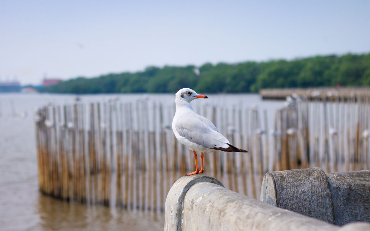 vertebrate, bird, perching, animal themes, animal, animals in the wild, animal wildlife, water, one animal, focus on foreground, sky, seagull, nature, day, wood - material, no people, post, wooden post, sea, outdoors