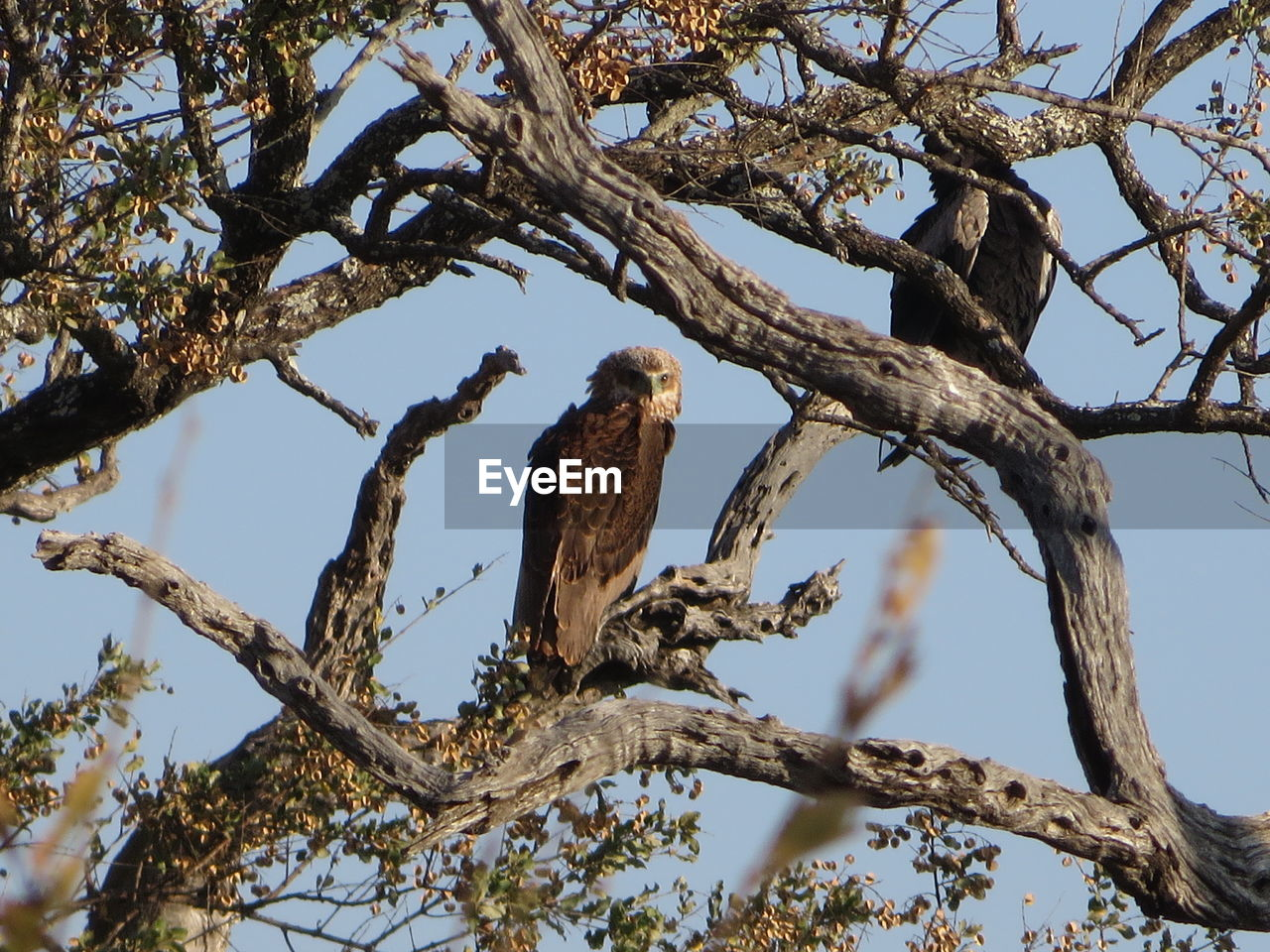 branch, tree, animal wildlife, animals in the wild, animal themes, animal, low angle view, vertebrate, plant, perching, bird, one animal, nature, no people, sky, day, outdoors, bird of prey, bare tree, clear sky, eagle