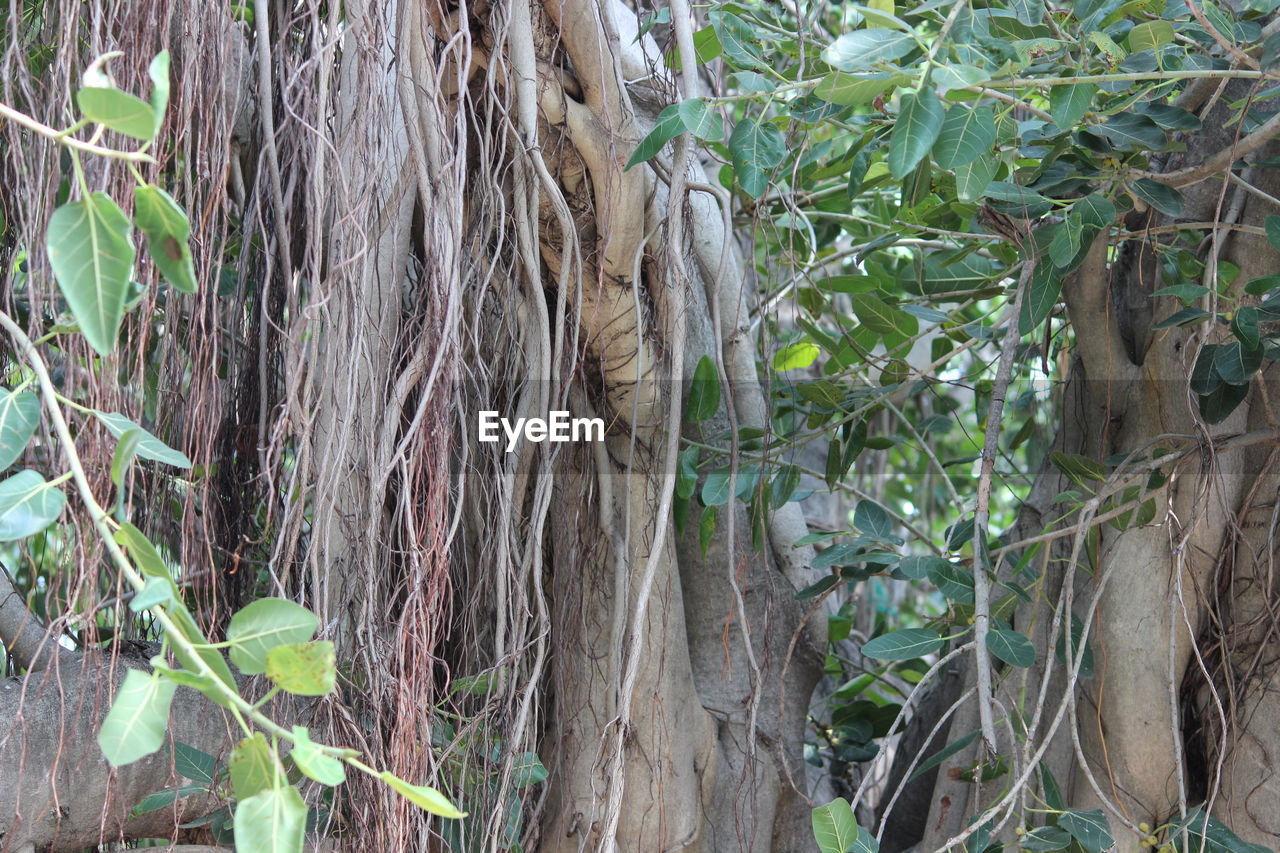 plant, tree, growth, nature, trunk, plant part, forest, tree trunk, land, leaf, no people, day, tranquility, outdoors, green color, beauty in nature, branch, root, woodland, remote, bamboo - plant