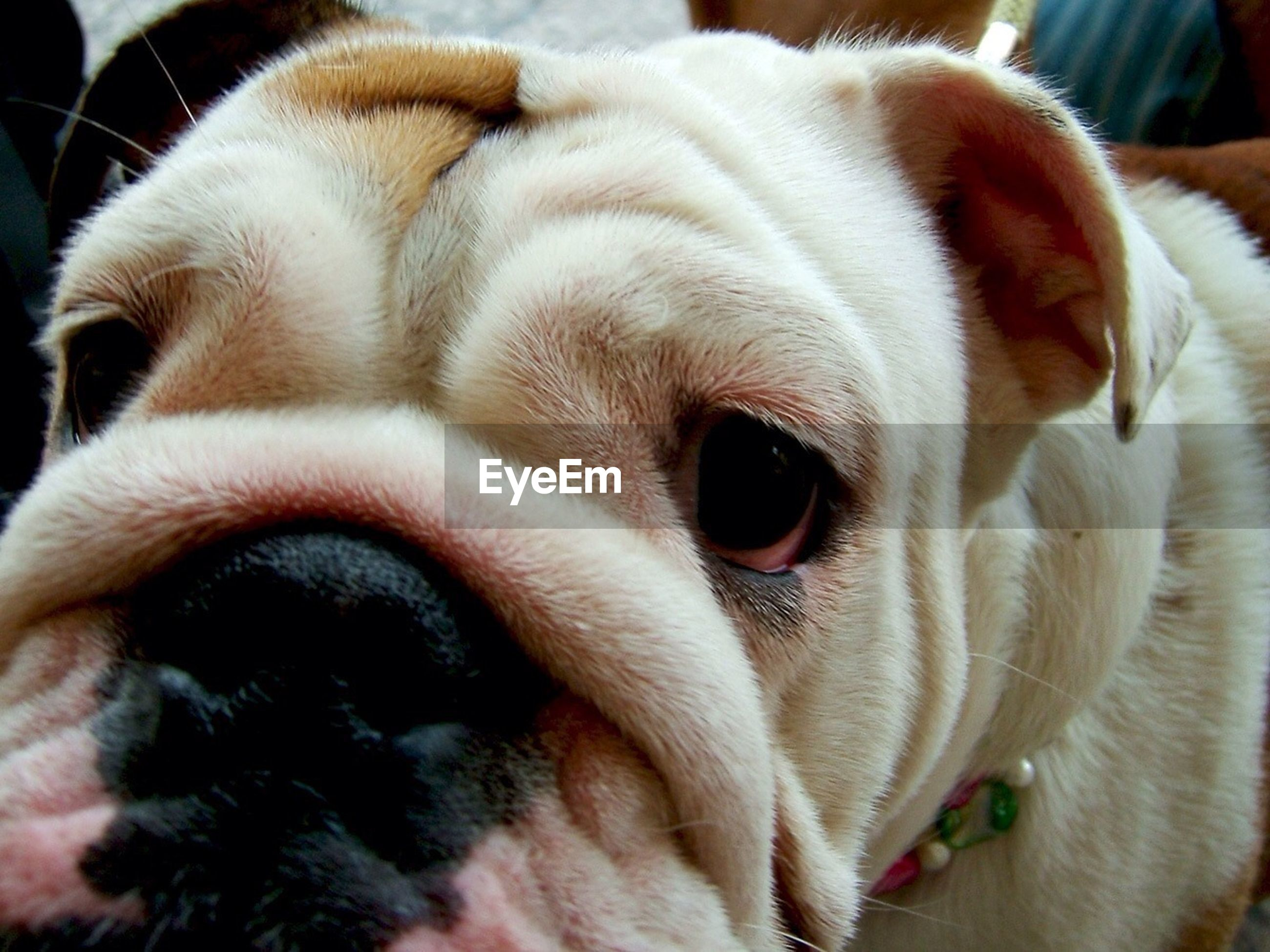 domestic animals, animal themes, pets, dog, one animal, mammal, animal head, close-up, indoors, animal body part, portrait, looking at camera, snout, animal nose, animal hair, relaxation, focus on foreground, no people, zoology, white color