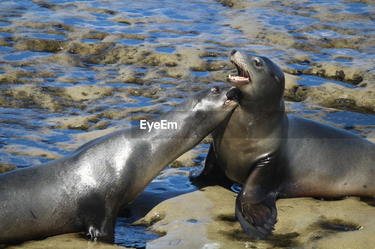 animal wildlife, animal, group of animals, animals in the wild, animal themes, water, underwater, sea, mammal, two animals, aquatic mammal, nature, no people, vertebrate, beach, day, sea life, sea lion, seal - animal, mouth open, marine, aggression