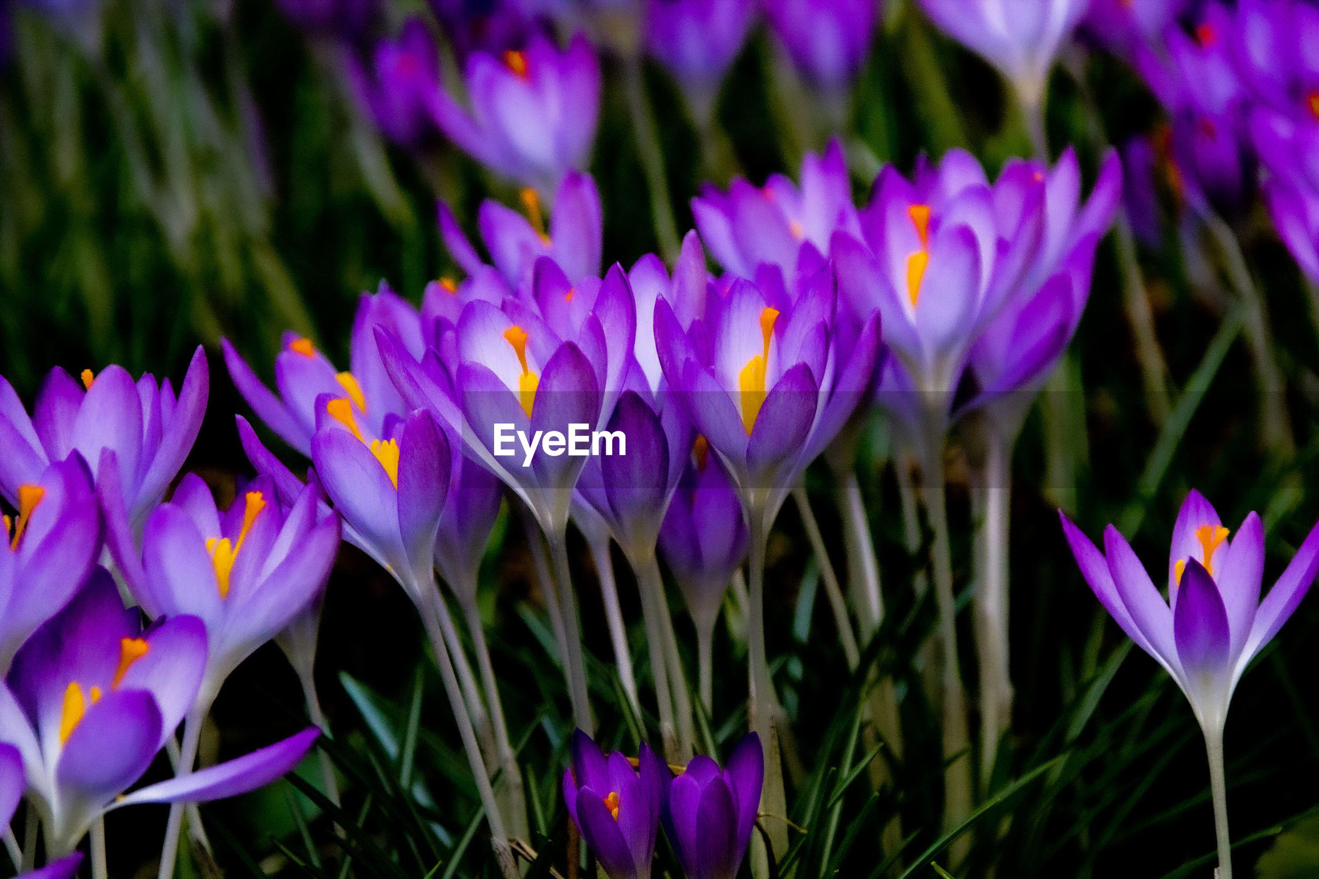 CLOSE-UP OF PURPLE CROCUS FLOWERS GROWING ON LAND