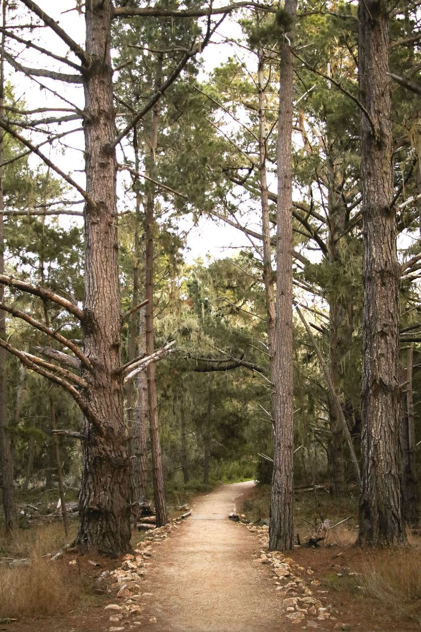 tree, plant, forest, land, woodland, the way forward, direction, tranquility, nature, day, footpath, no people, tree trunk, trunk, non-urban scene, beauty in nature, growth, tranquil scene, scenics - nature, outdoors, pine tree, treelined, coniferous tree