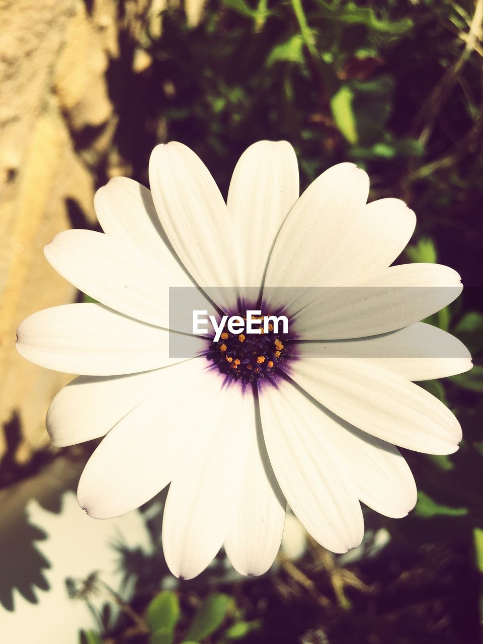 flower, petal, nature, flower head, beauty in nature, fragility, growth, freshness, plant, focus on foreground, outdoors, blooming, day, no people, close-up, osteospermum