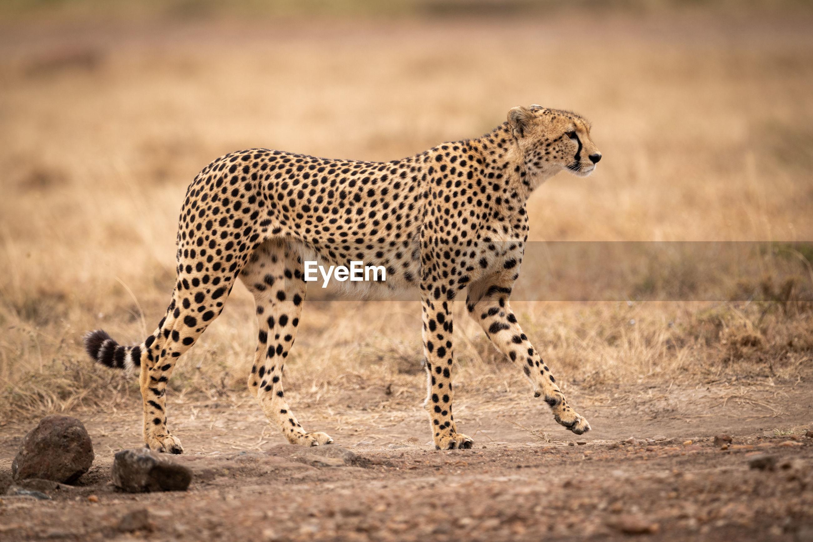 Cheetah walking on field