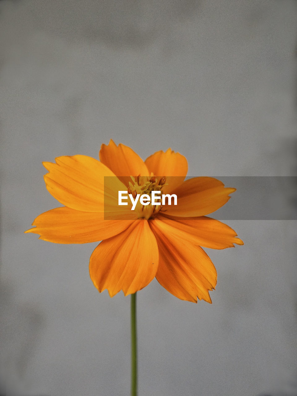 flowering plant, flower, petal, freshness, vulnerability, fragility, beauty in nature, flower head, inflorescence, close-up, plant, yellow, growth, orange color, no people, nature, focus on foreground, pollen, plant stem, sepal