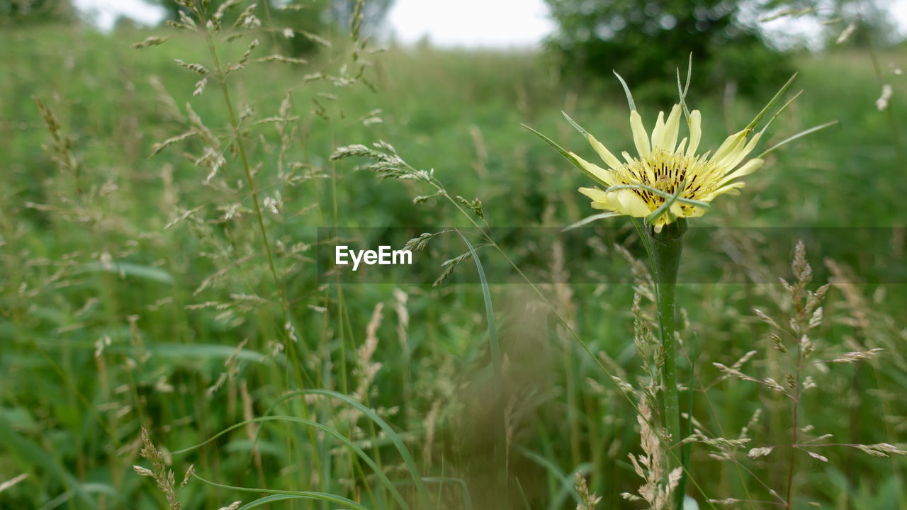 plant, growth, flowering plant, flower, beauty in nature, fragility, freshness, vulnerability, green color, land, nature, field, close-up, focus on foreground, day, flower head, no people, plant stem, outdoors, inflorescence, sepal, dandelion seed