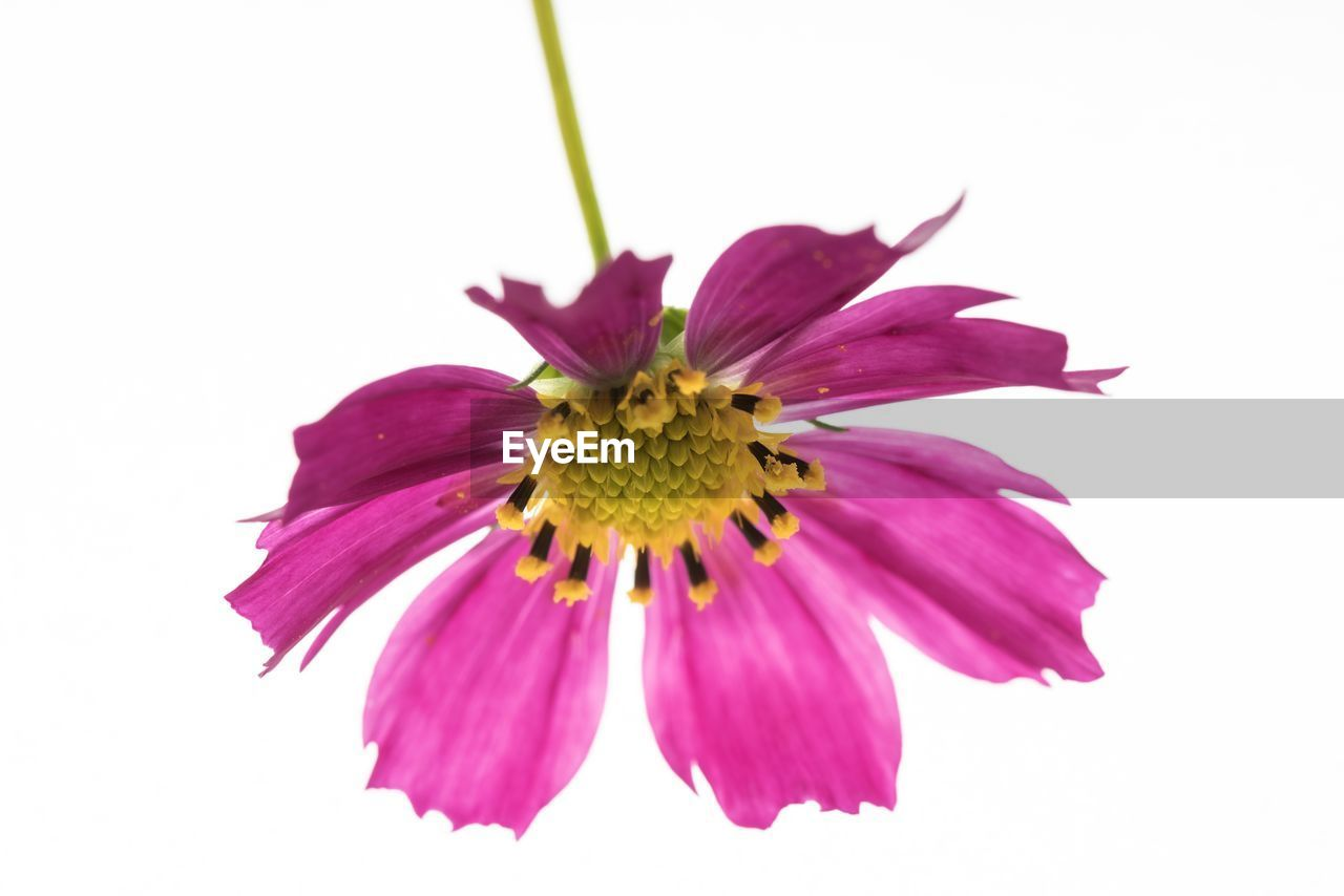 flower, flowering plant, petal, beauty in nature, flower head, freshness, fragility, inflorescence, plant, vulnerability, white background, studio shot, close-up, growth, no people, pollen, nature, pink color, yellow, purple, sepal