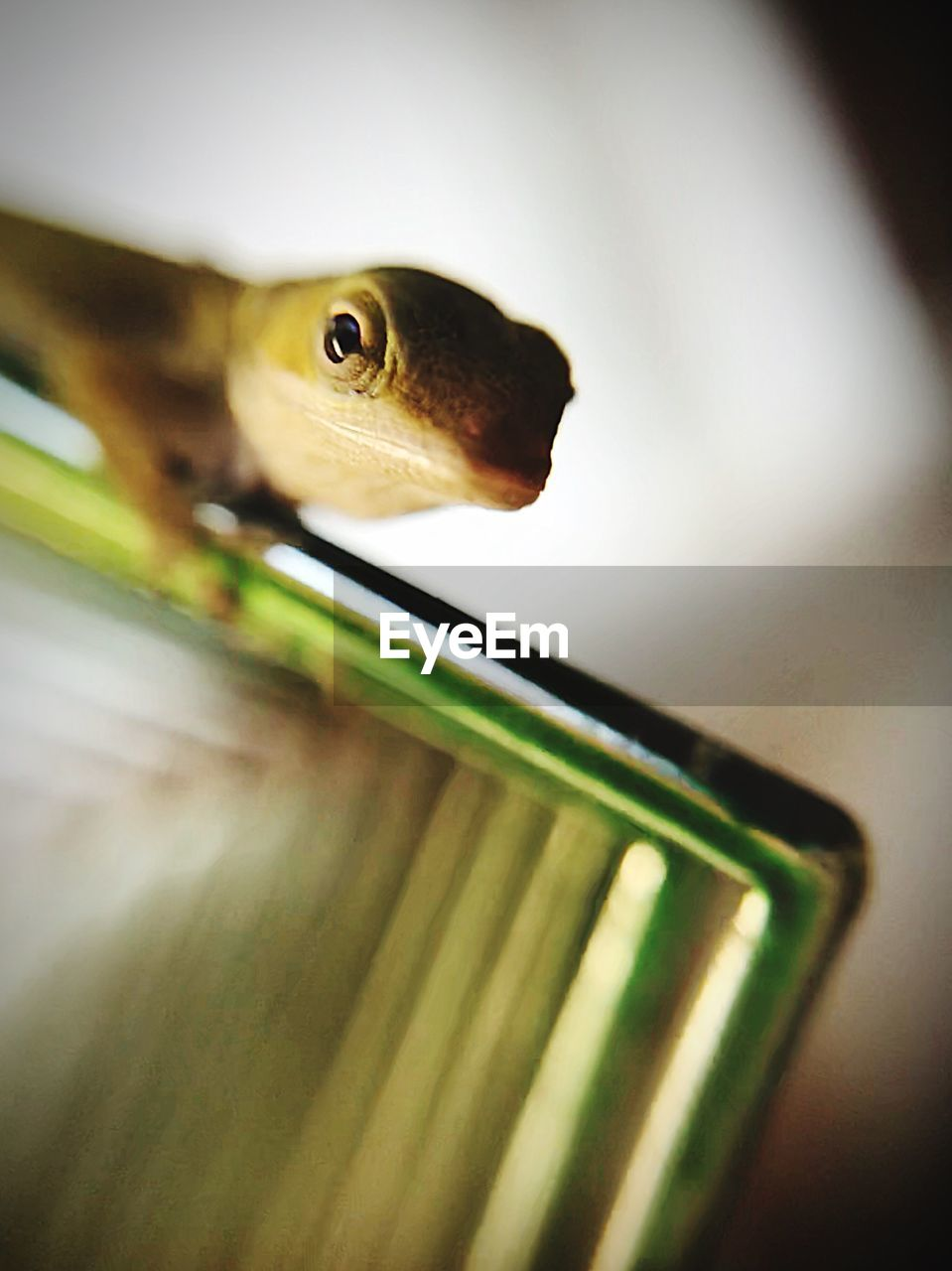 animal, one animal, close-up, animal themes, indoors, selective focus, reptile, vertebrate, no people, animal wildlife, animal body part, animals in the wild, animal head, swimming, animals in captivity, transparent, focus on foreground, lizard, green color, mouth open, animal eye