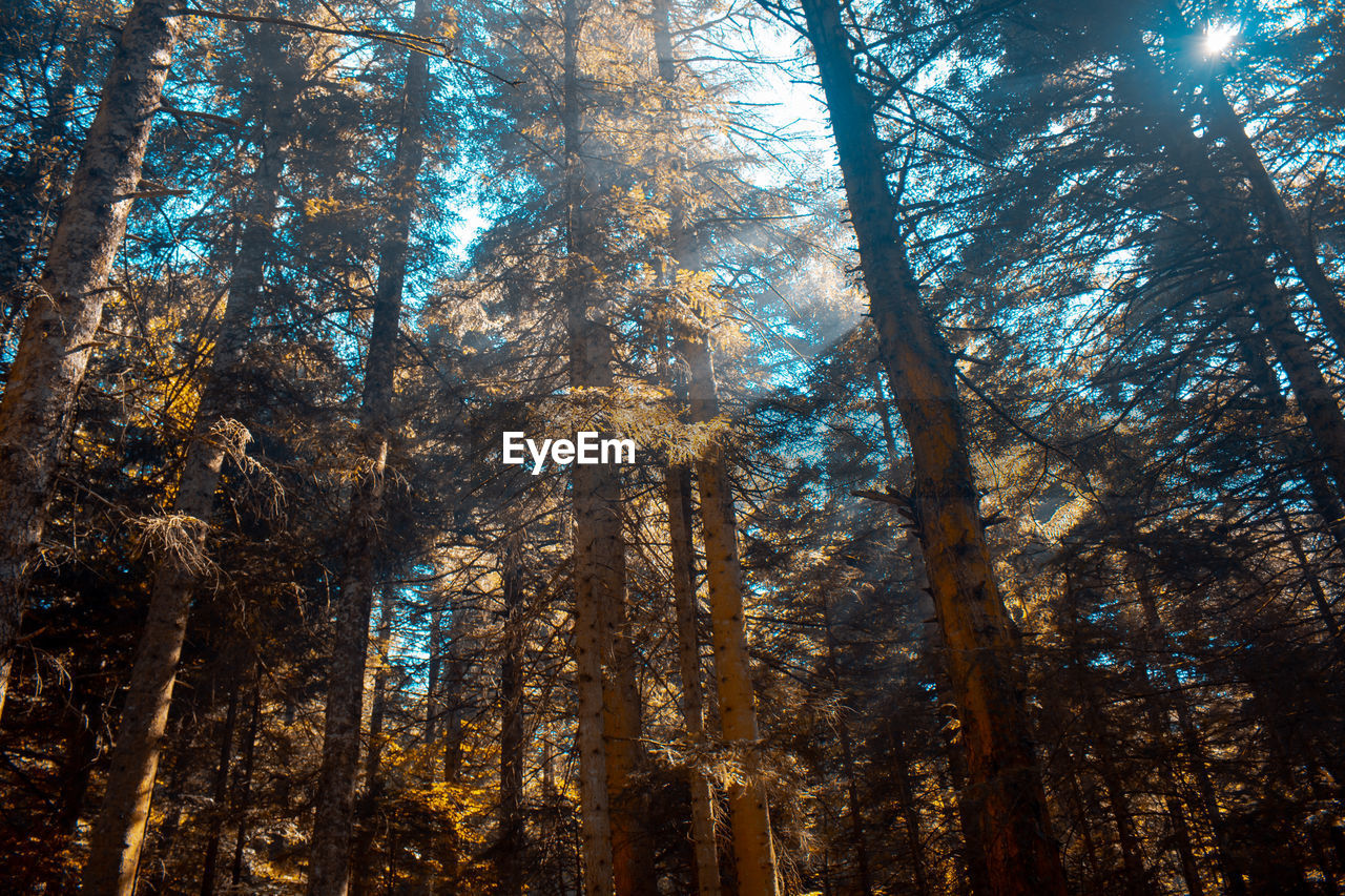 tree, forest, plant, land, woodland, tree trunk, trunk, low angle view, beauty in nature, tranquility, growth, nature, no people, autumn, day, non-urban scene, scenics - nature, tranquil scene, sunlight, environment, outdoors, pine woodland, tree canopy
