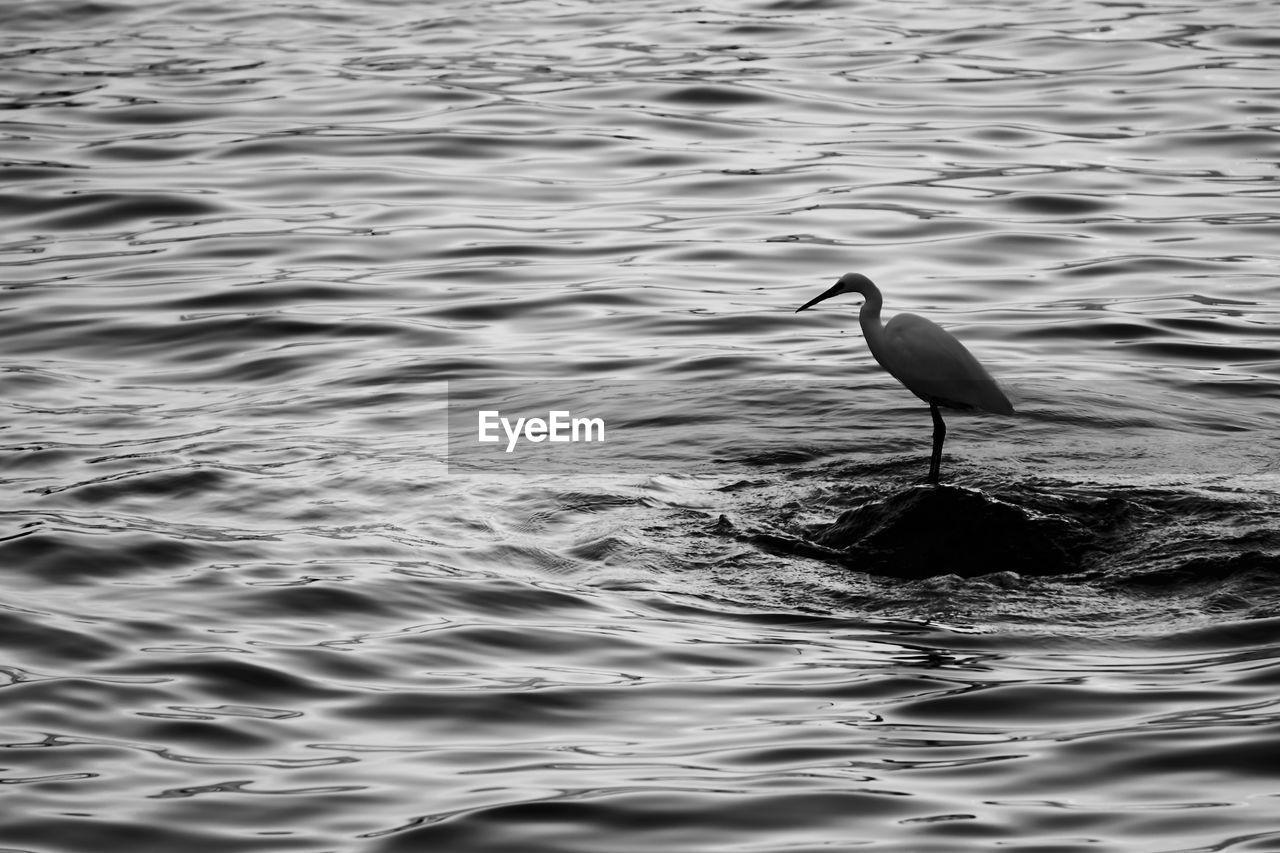 Great egret perching on rock in sea