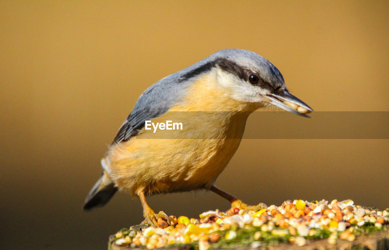 bird, animal themes, vertebrate, animal, one animal, animal wildlife, animals in the wild, close-up, perching, yellow, no people, selective focus, nature, beak, side view, day, looking, great tit, focus on foreground, food