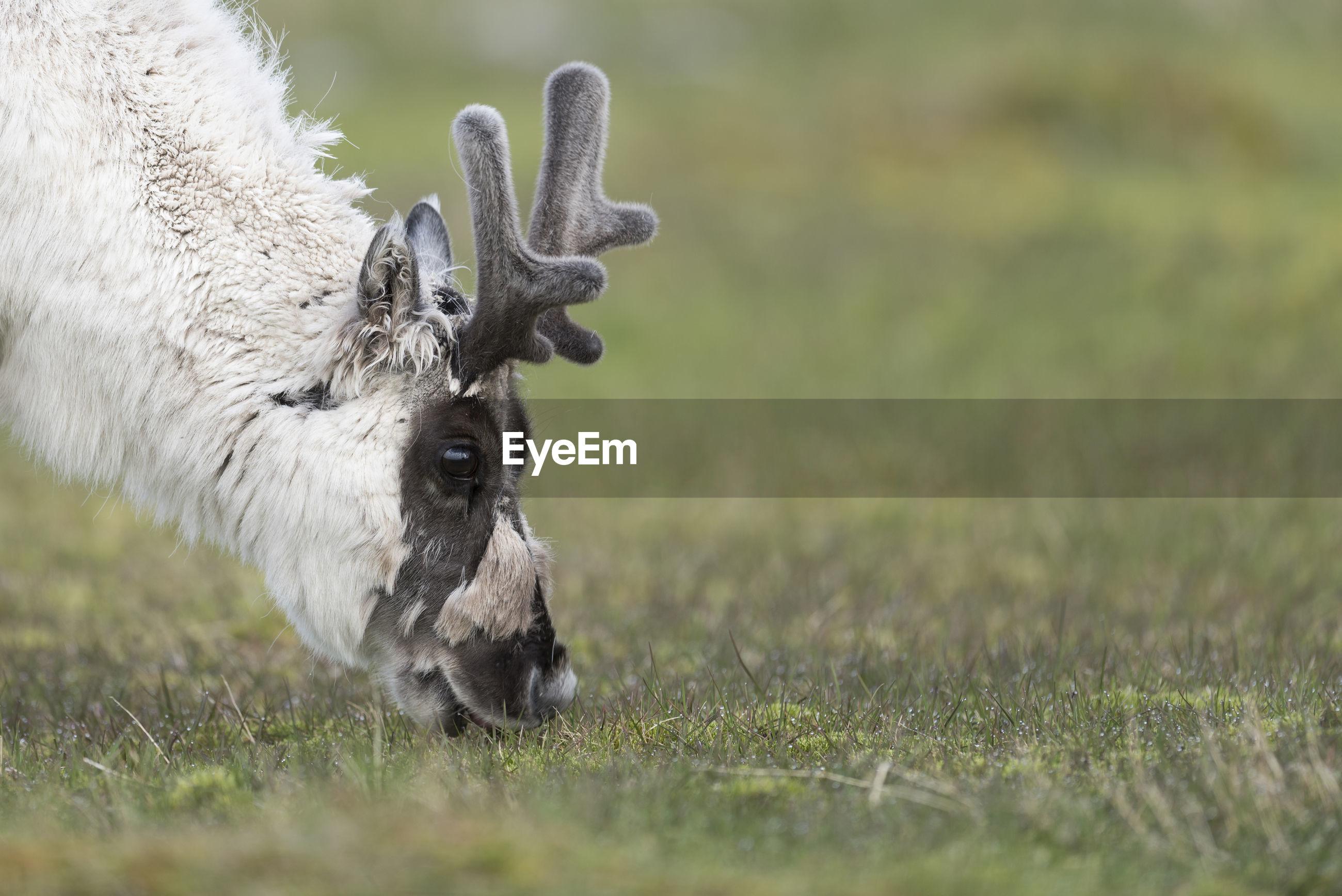 Reindeer grazing on grass