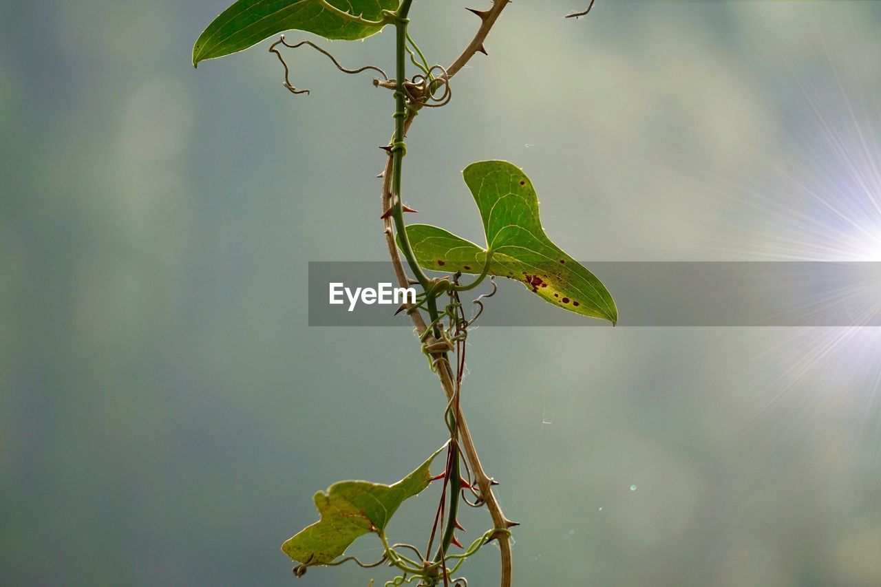 plant, plant part, leaf, nature, day, green color, one animal, close-up, focus on foreground, animal wildlife, animals in the wild, growth, no people, animal themes, animal, plant stem, beauty in nature, invertebrate, outdoors, insect, leaves