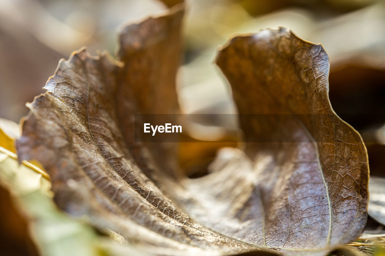 close-up, selective focus, no people, dry, leaf, plant part, food and drink, brown, textured, still life, nature, food, day, focus on foreground, pattern, outdoors, wood - material, leaf vein, leaves, vulnerability, dried