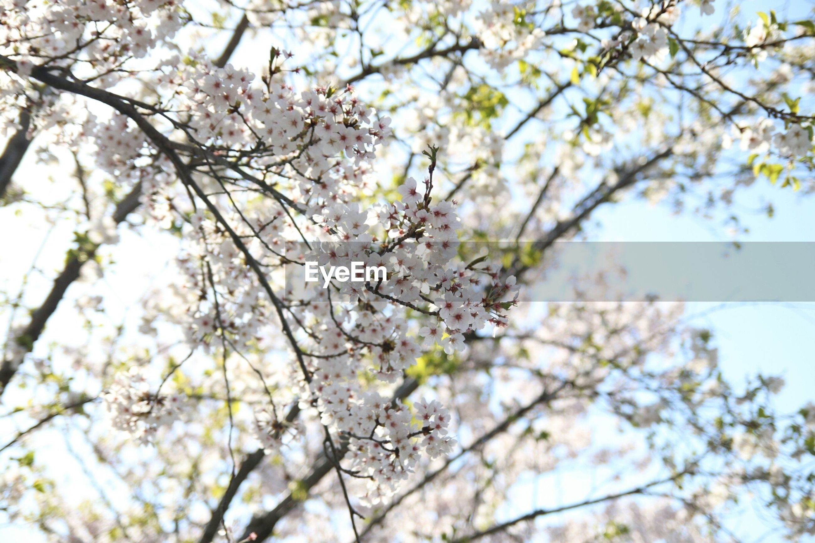 flower, branch, tree, freshness, low angle view, growth, beauty in nature, fragility, cherry blossom, blossom, nature, cherry tree, springtime, twig, in bloom, focus on foreground, blooming, close-up, petal, clear sky