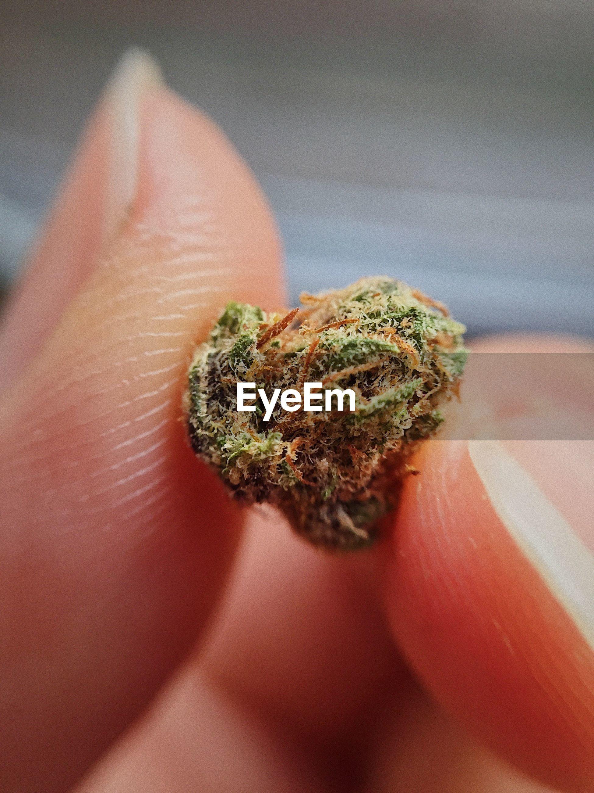 Close-up of person holding marijuana