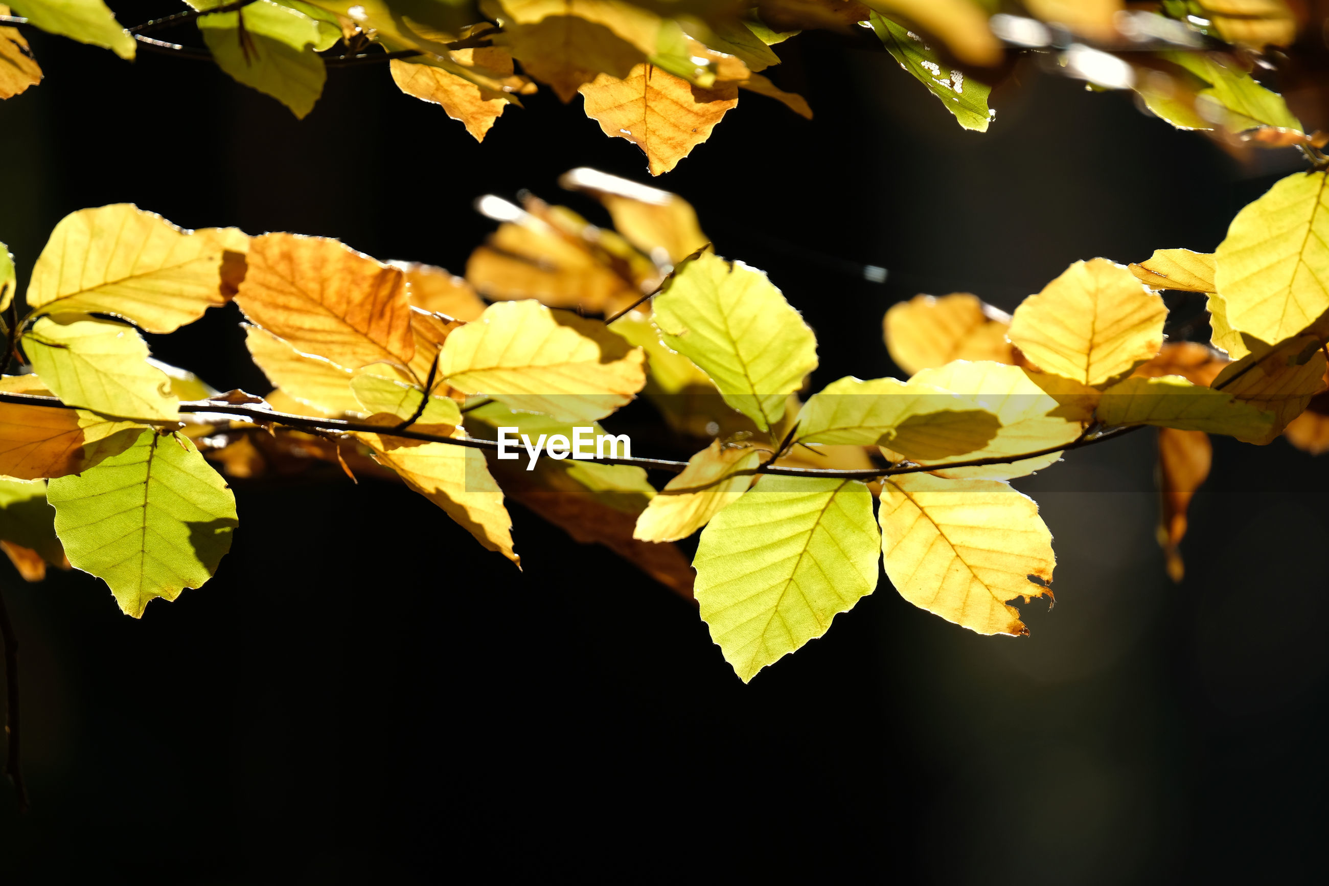 Beech branches with green yellow brown leaves. autumn foreground and black shadow background.