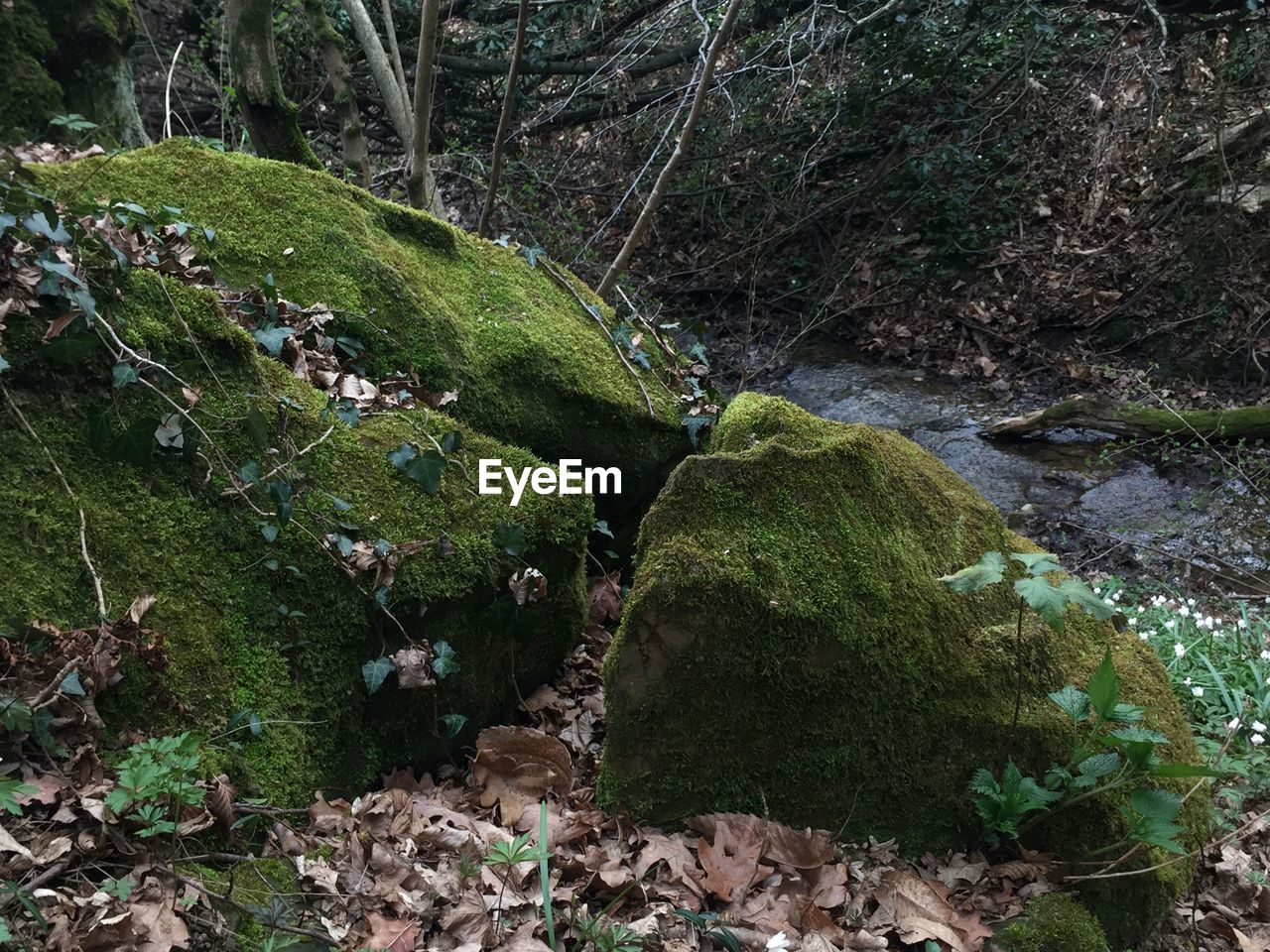 MOSS GROWING ON ROCK AT FOREST