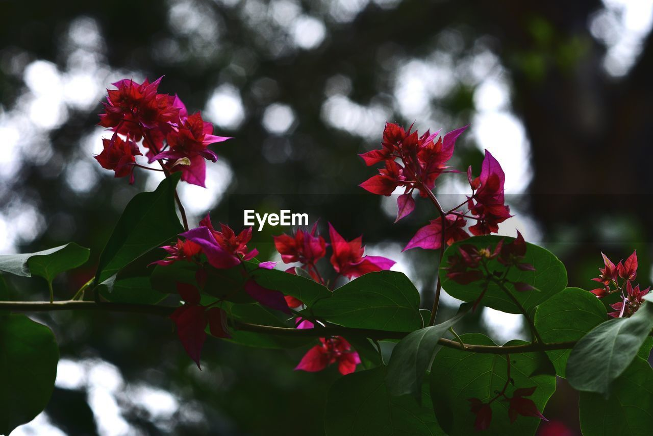 plant, flower, flowering plant, beauty in nature, freshness, growth, petal, vulnerability, fragility, close-up, red, flower head, nature, inflorescence, plant part, focus on foreground, leaf, no people, day, outdoors
