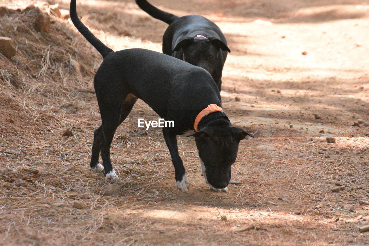 mammal, animal themes, animal, one animal, dog, canine, vertebrate, domestic, pets, domestic animals, land, field, black color, day, nature, no people, sunlight, running, outdoors
