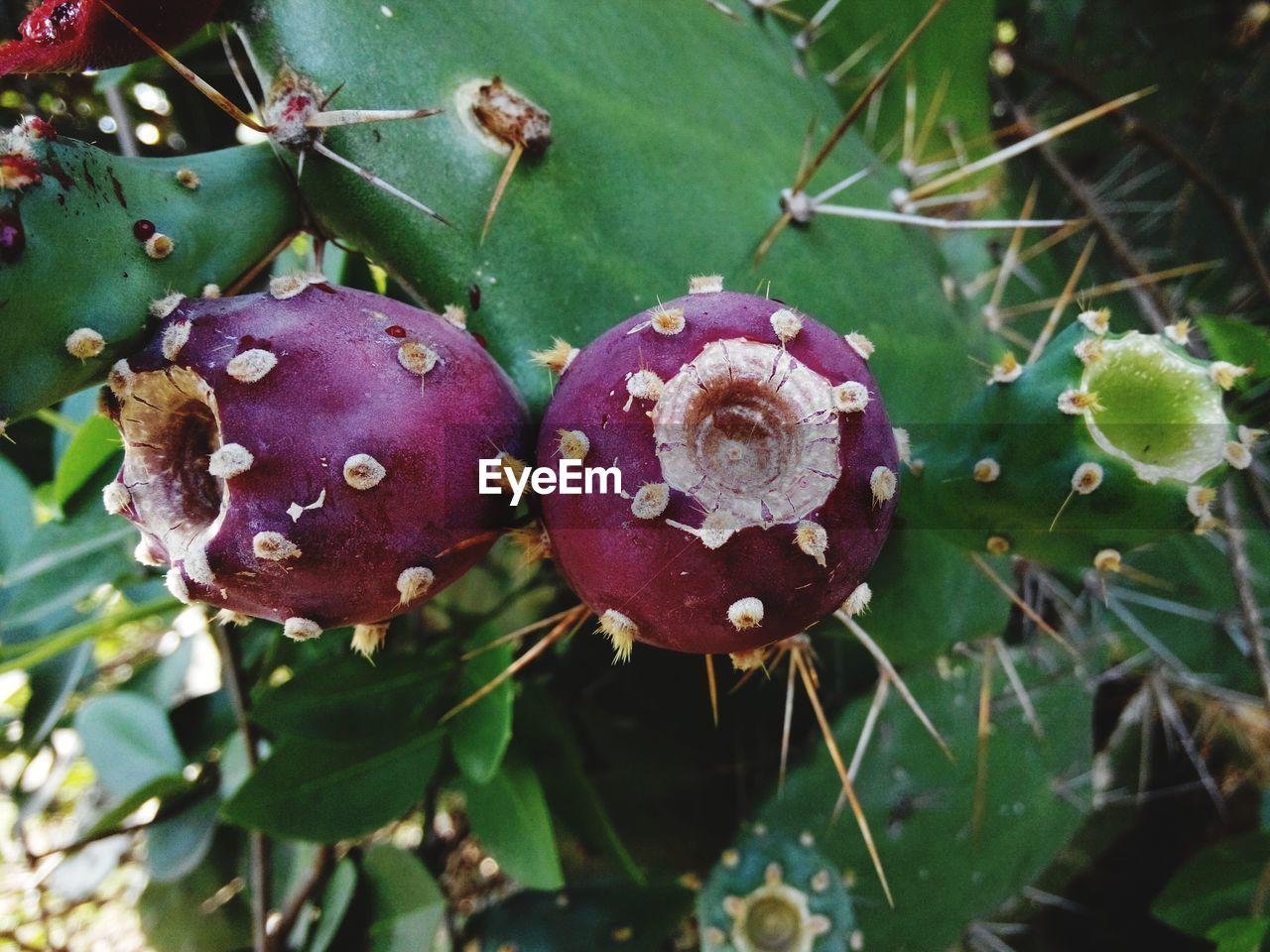Close-up of dragon fruit