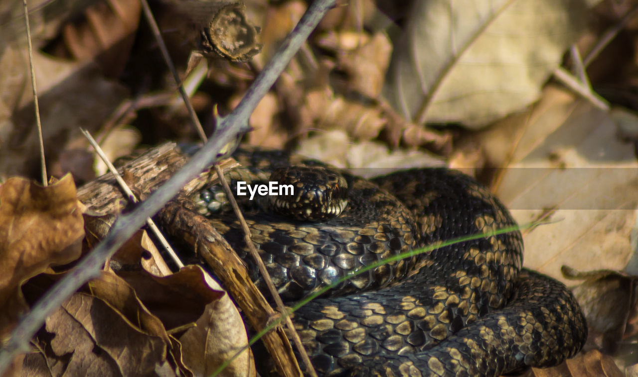 snake, reptile, animal themes, one animal, animals in the wild, animal wildlife, nature, day, close-up, high angle view, no people, outdoors