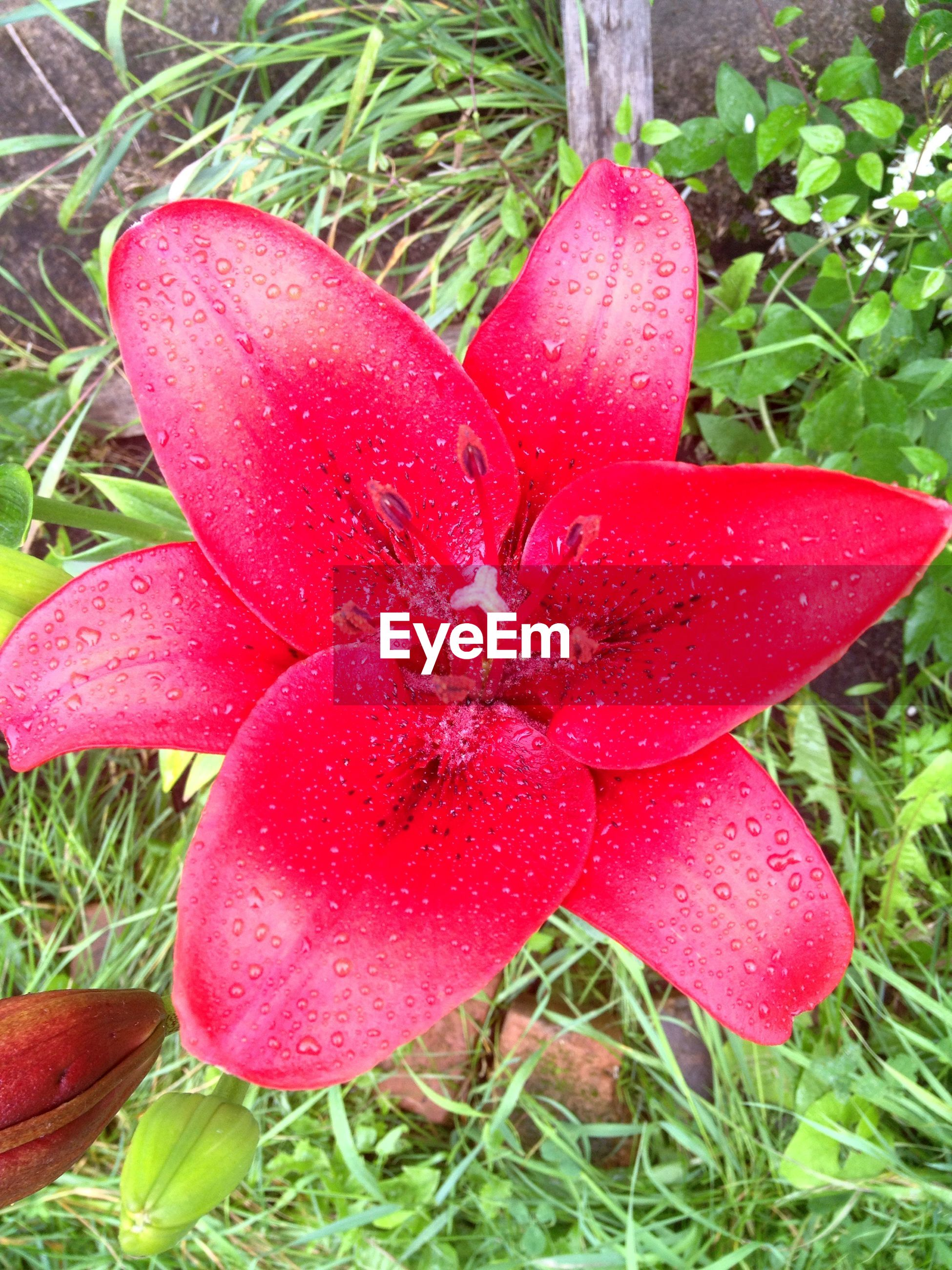 flower, freshness, petal, fragility, flower head, drop, growth, wet, water, beauty in nature, close-up, pink color, red, nature, plant, blooming, single flower, dew, in bloom, grass