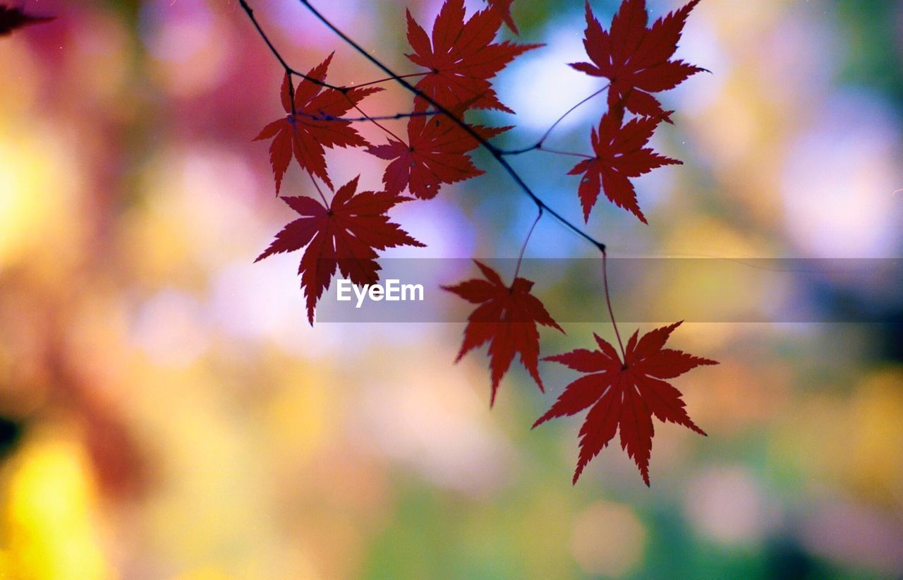 autumn, leaf, change, maple leaf, nature, beauty in nature, focus on foreground, maple tree, no people, day, maple, outdoors, close-up, growth