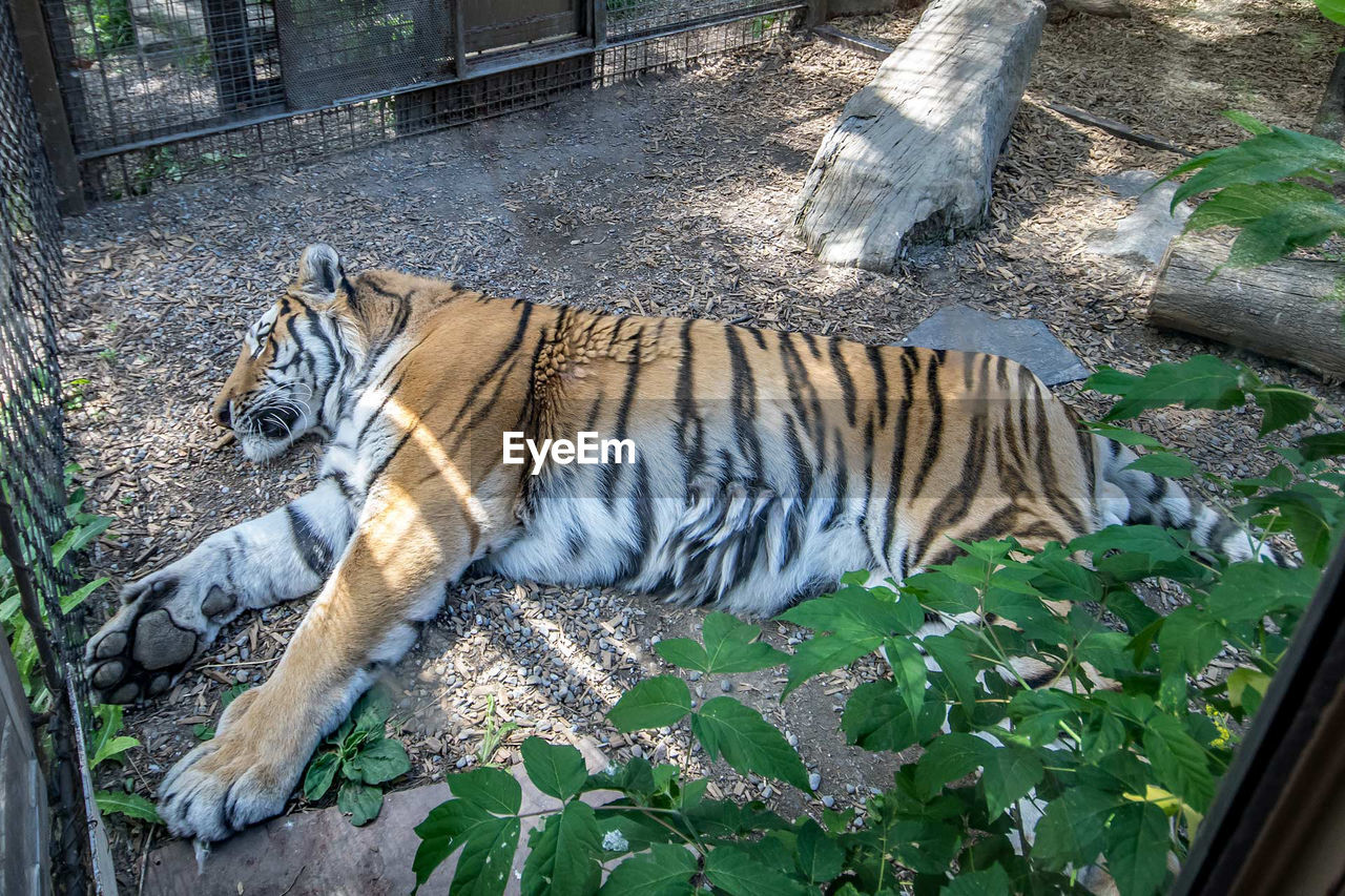tiger, one animal, animal themes, mammal, animals in the wild, day, outdoors, feline, relaxation, no people, lying down, white tiger, endangered species, nature