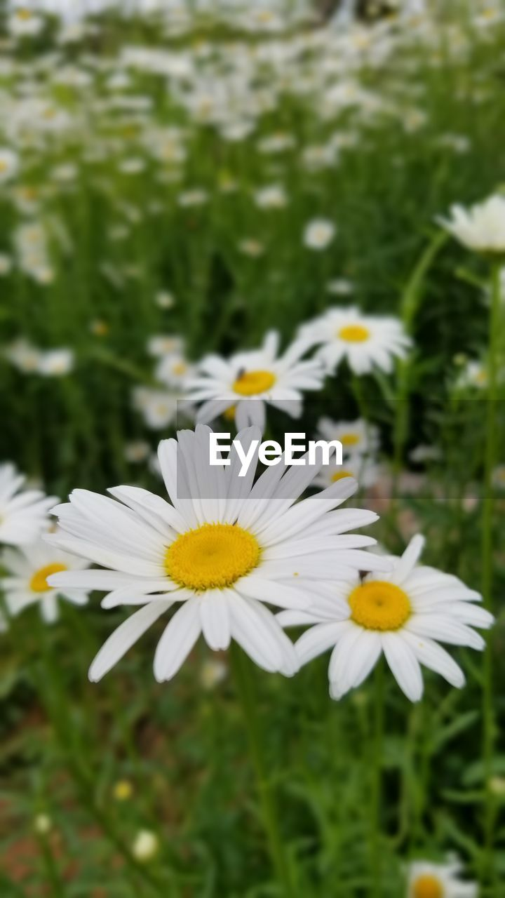 flowering plant, flower, fragility, vulnerability, plant, petal, freshness, beauty in nature, growth, white color, flower head, inflorescence, close-up, daisy, day, pollen, no people, nature, focus on foreground, yellow, outdoors