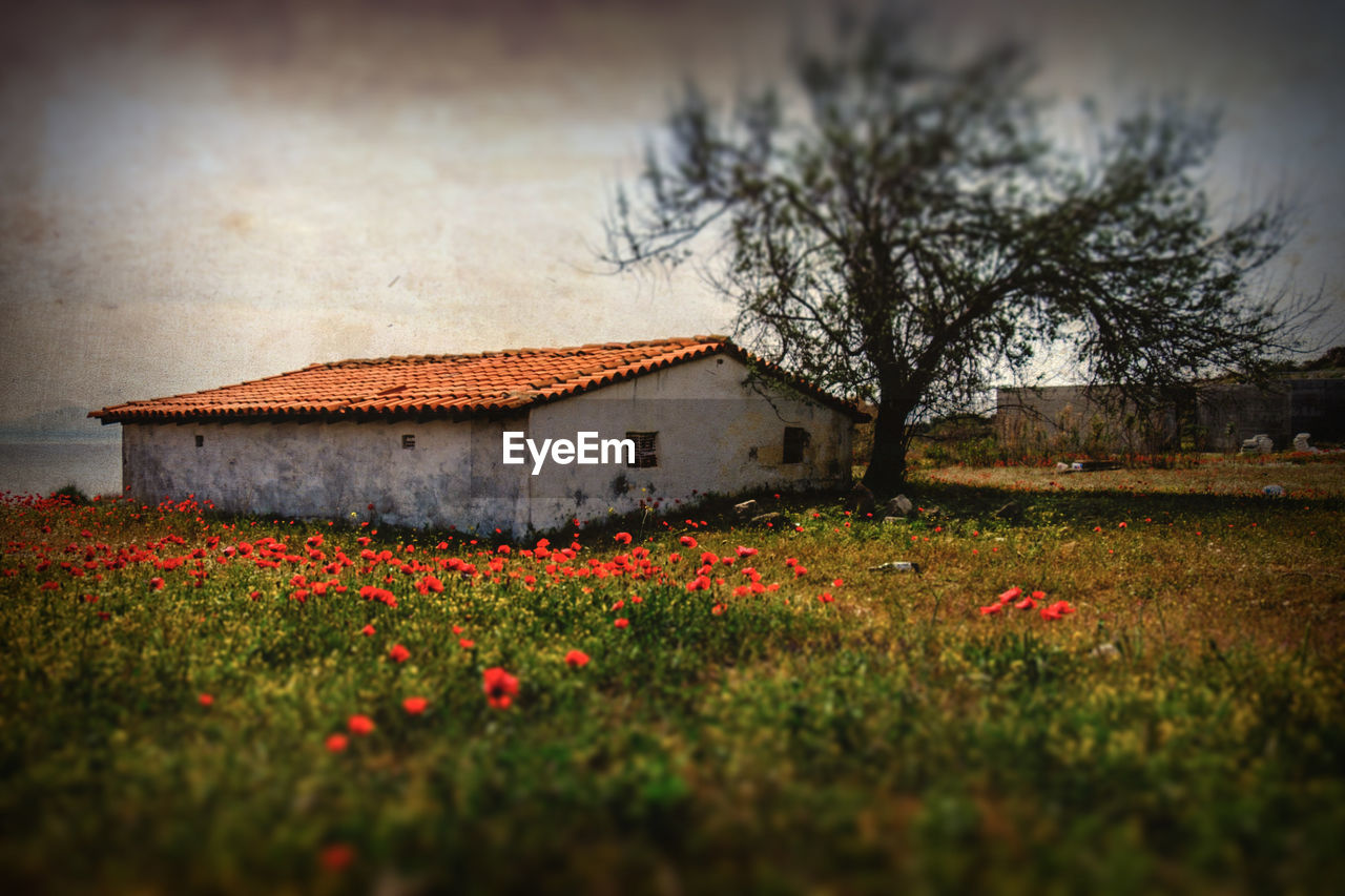 plant, flower, flowering plant, architecture, built structure, nature, building exterior, tree, building, field, growth, selective focus, beauty in nature, land, sky, red, no people, house, freshness, grass, outdoors