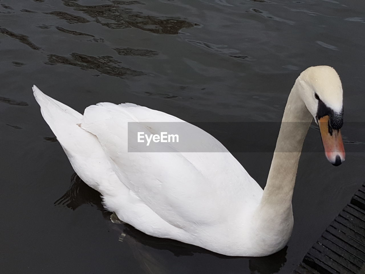 one animal, animals in the wild, animal themes, bird, swan, lake, water, white color, animal wildlife, day, outdoors, water bird, high angle view, nature, no people, swimming, beak, close-up, beauty in nature