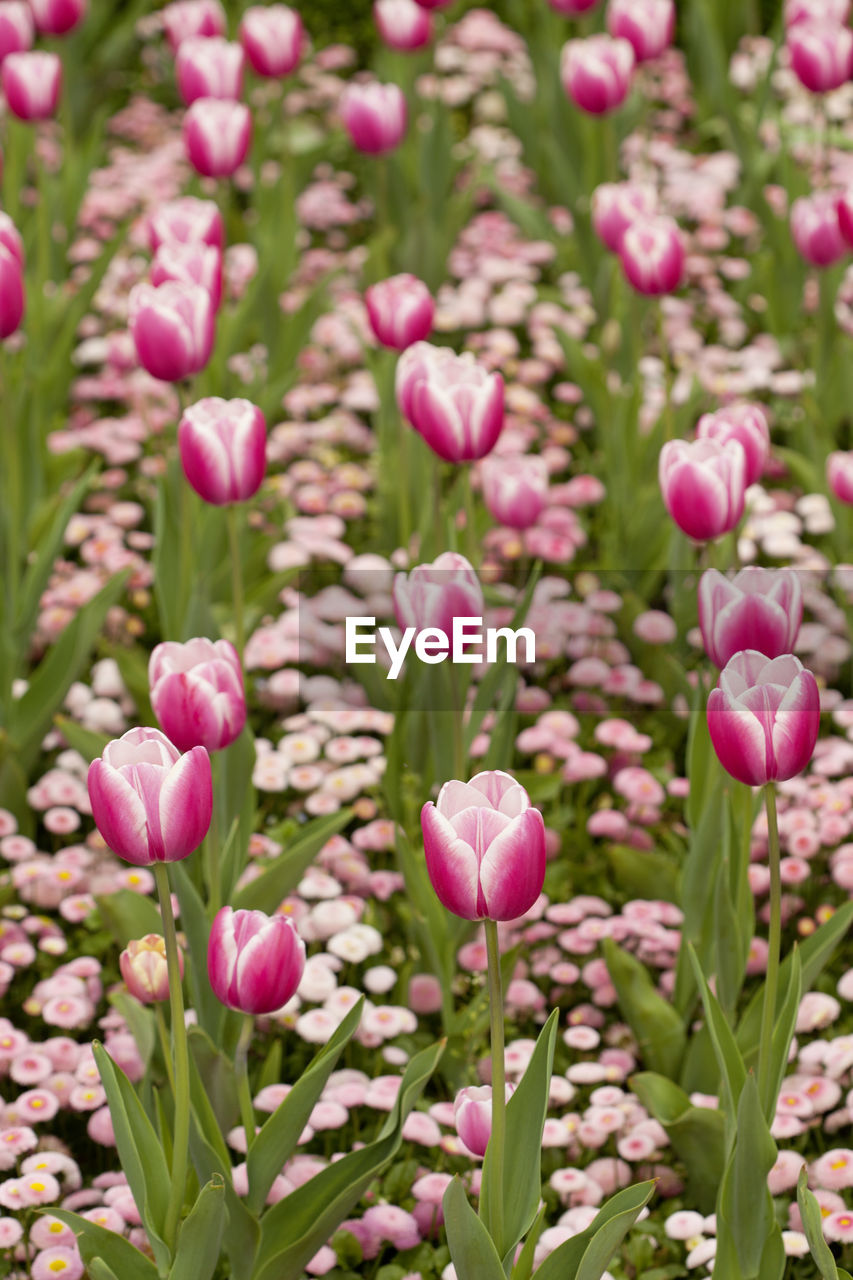 flowering plant, pink color, flower, plant, freshness, vulnerability, beauty in nature, fragility, close-up, petal, growth, nature, flower head, inflorescence, no people, day, tulip, land, field, plant stem, springtime, outdoors