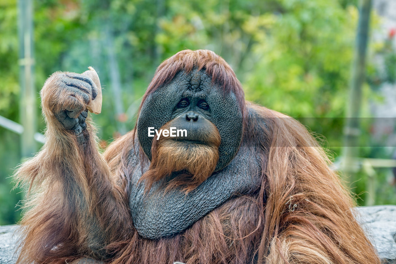 primate, monkey, mammal, animal themes, animal, ape, orangutan, animals in the wild, animal wildlife, focus on foreground, group of animals, two animals, vertebrate, no people, day, hair, zoo, relaxation, brown, close-up, outdoors, animal family