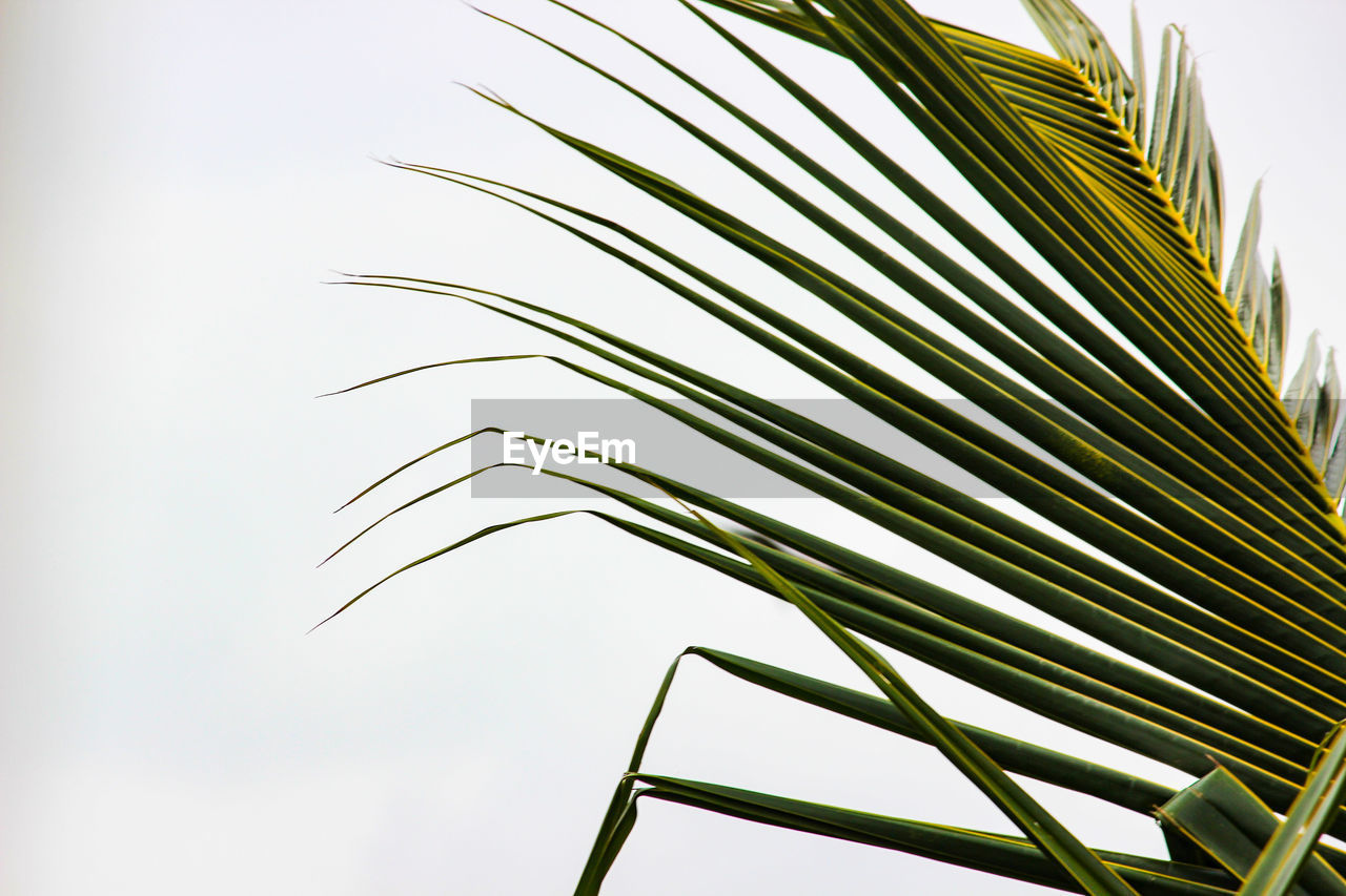palm leaf, leaf, palm tree, growth, low angle view, sky, plant part, nature, plant, no people, green color, tropical climate, day, beauty in nature, close-up, tree, frond, clear sky, outdoors, focus on foreground, tropical tree, bamboo - plant
