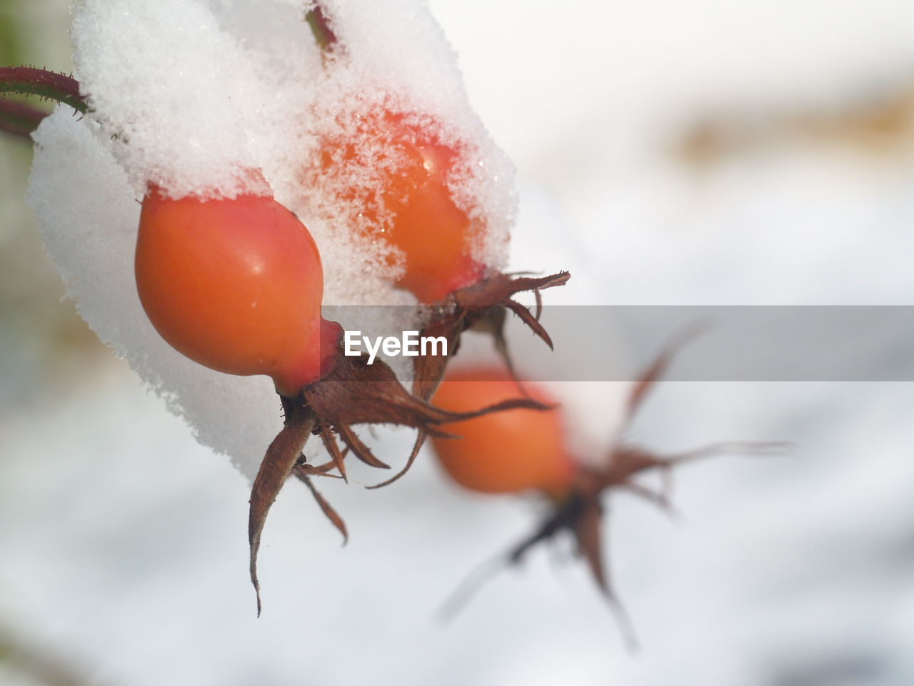 cold temperature, snow, winter, close-up, fruit, healthy eating, no people, rose hip, food and drink, food, nature, frozen, wellbeing, focus on foreground, ice, growth, day, plant, freshness, outdoors, extreme weather, ripe, rowanberry