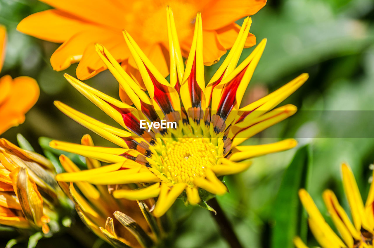 flowering plant, flower, fragility, vulnerability, plant, freshness, petal, growth, beauty in nature, flower head, close-up, inflorescence, pollen, yellow, nature, day, no people, focus on foreground, selective focus, gazania, outdoors