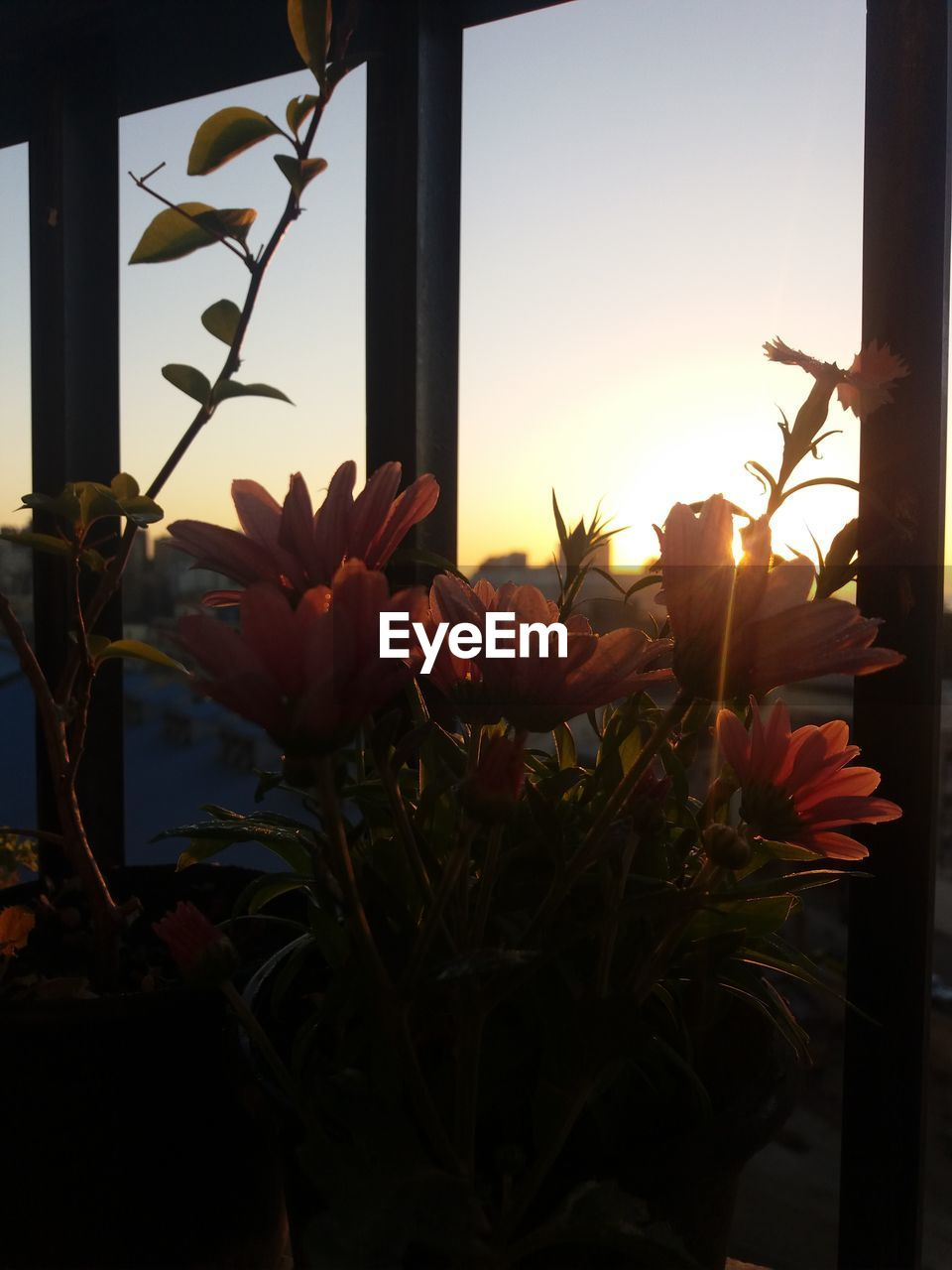 flower, window, sunset, plant, growth, nature, beauty in nature, sun, no people, sunlight, petal, flower head, freshness, close-up, outdoors, fragility, sky, blooming, day