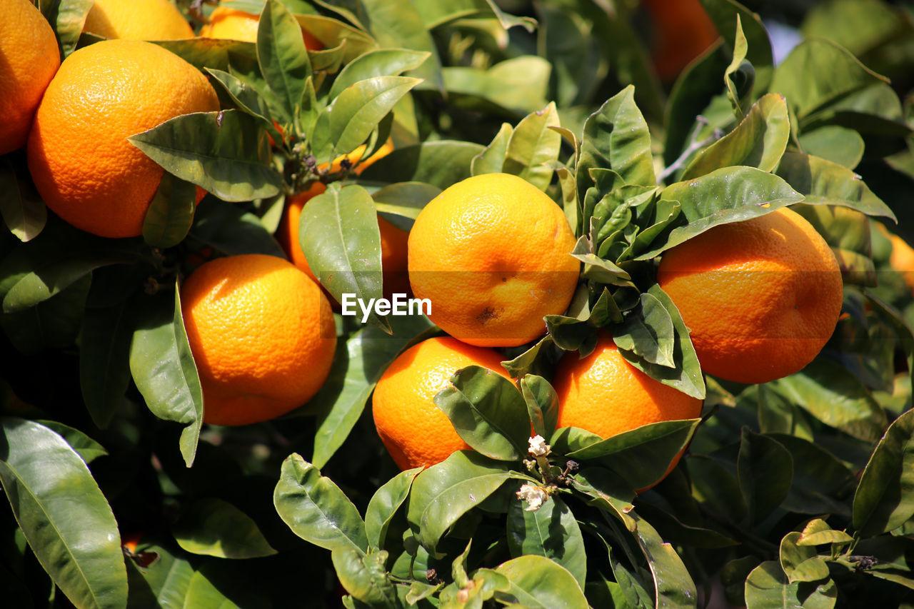 citrus fruit, fruit, orange color, food and drink, healthy eating, food, orange, orange - fruit, leaf, plant part, freshness, wellbeing, orange tree, no people, plant, fruit tree, growth, nature, day, close-up, outdoors, ripe