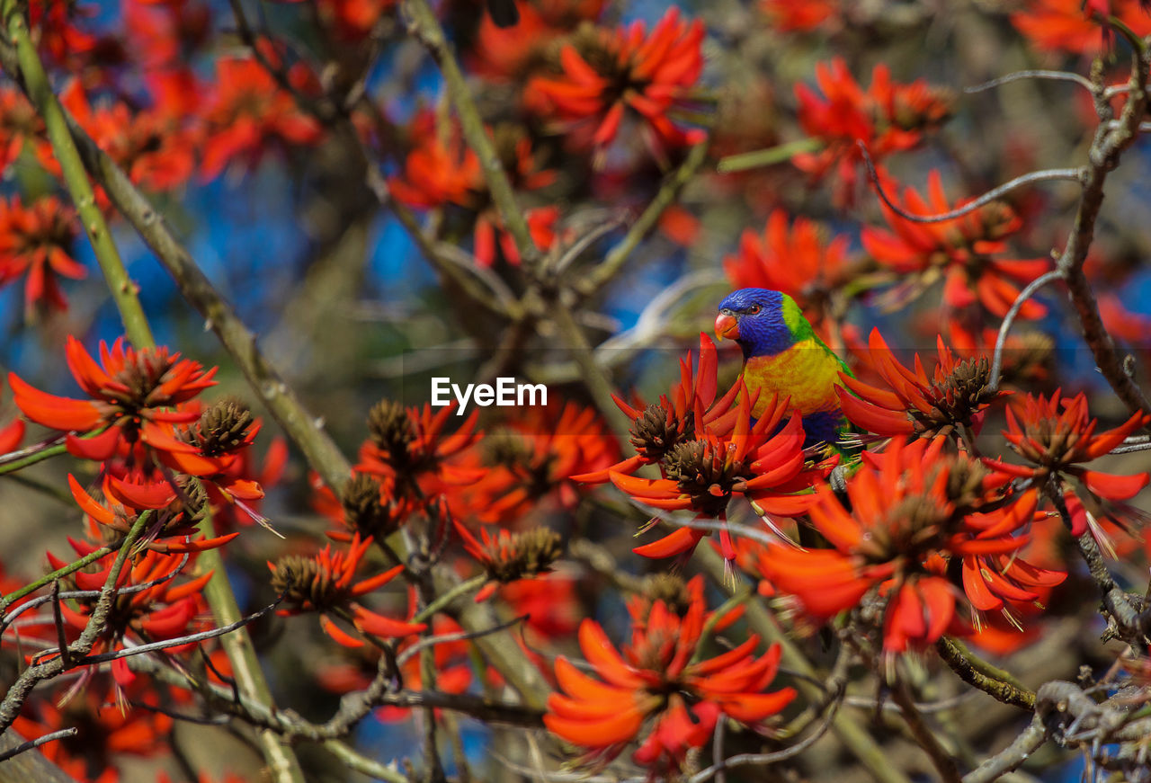 Close-up of rainbow lorikeet perching on tree